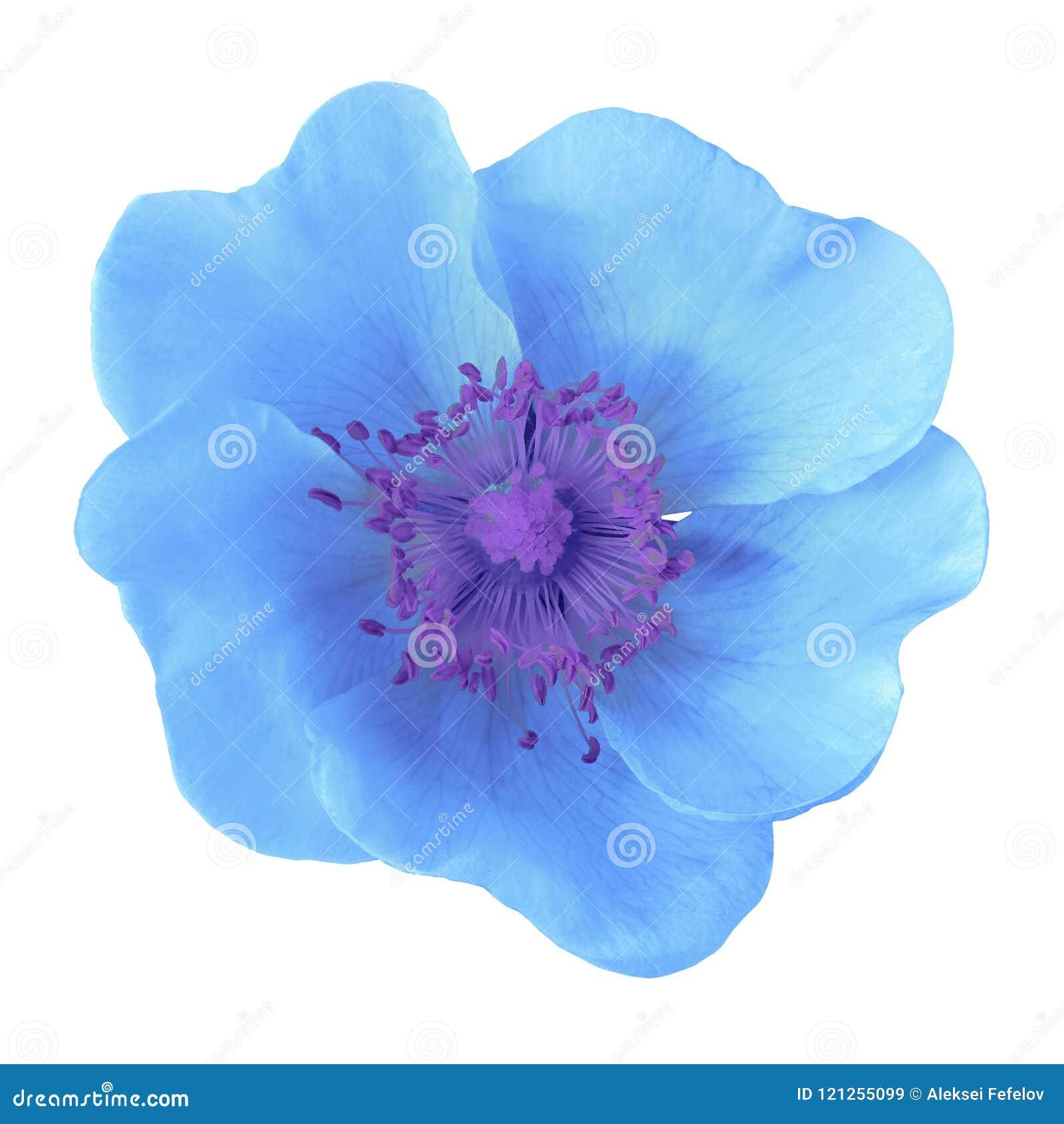 Fiore blu isolato su priorità bassa bianca Primo piano Macro