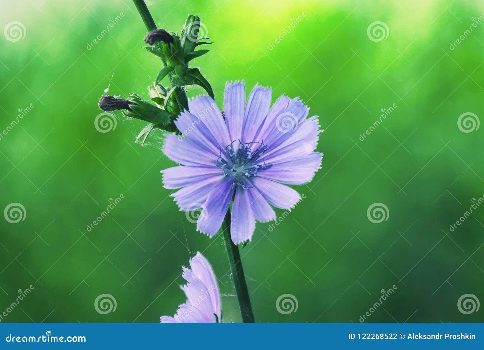 Fiore Blu Su Sfondo Naturale Fiore Della Cicoria Selvaggia