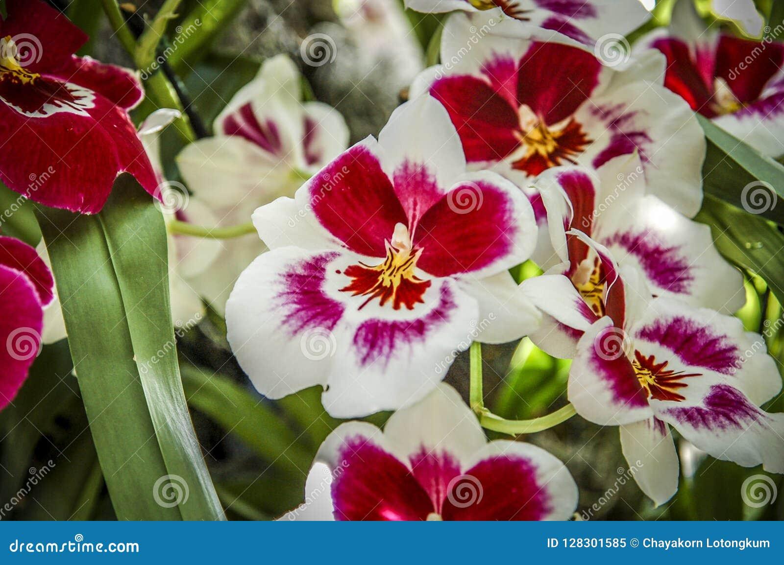 Fiore Colourful del Cymbidium