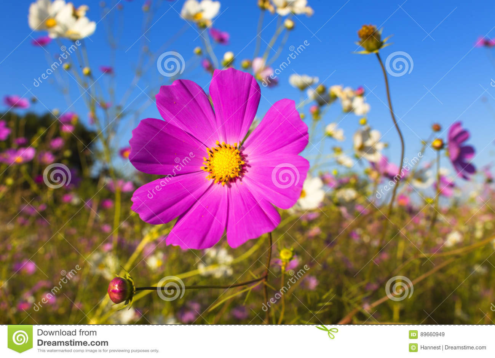 Fiore Colourful dell universo