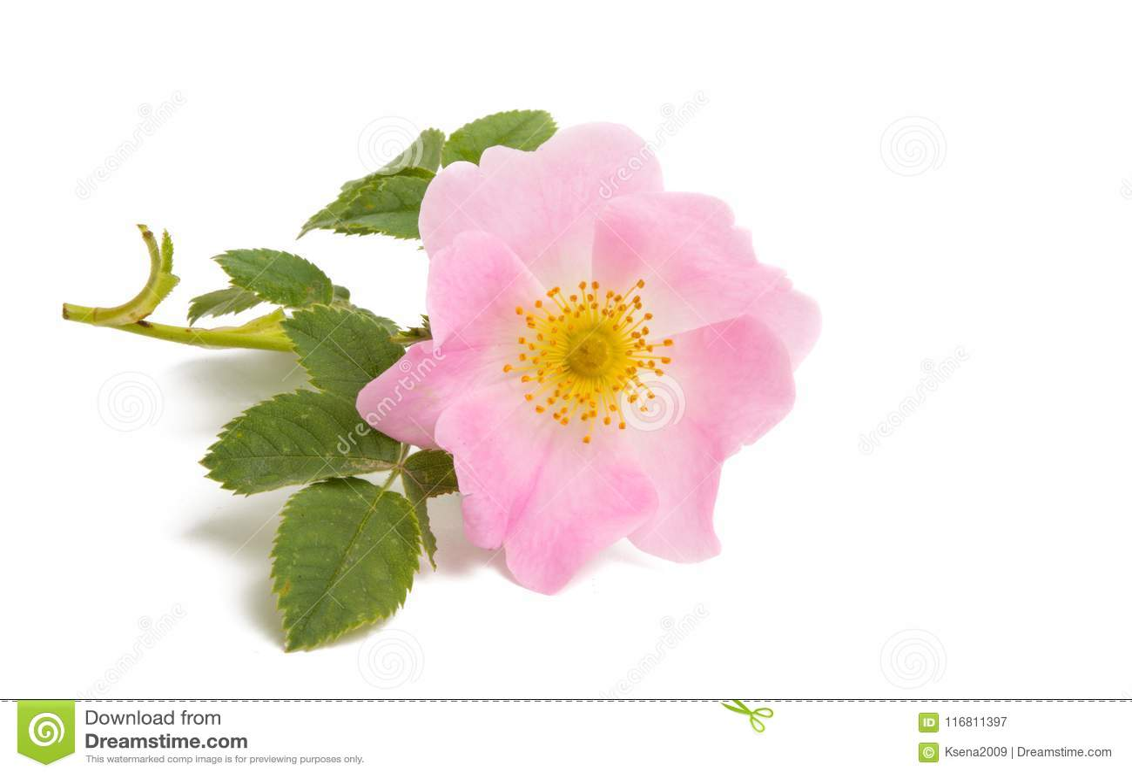 Fiore del cinorrodonte isolato