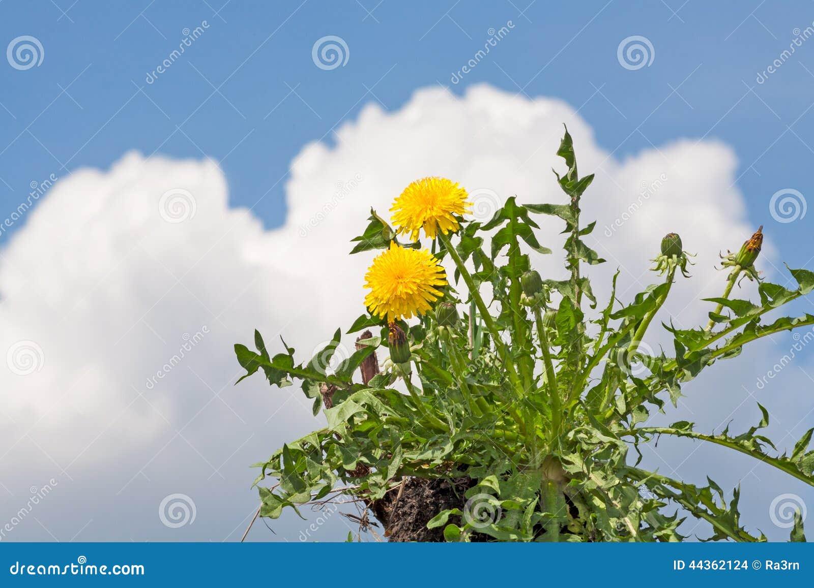 Fiore del dente di leone