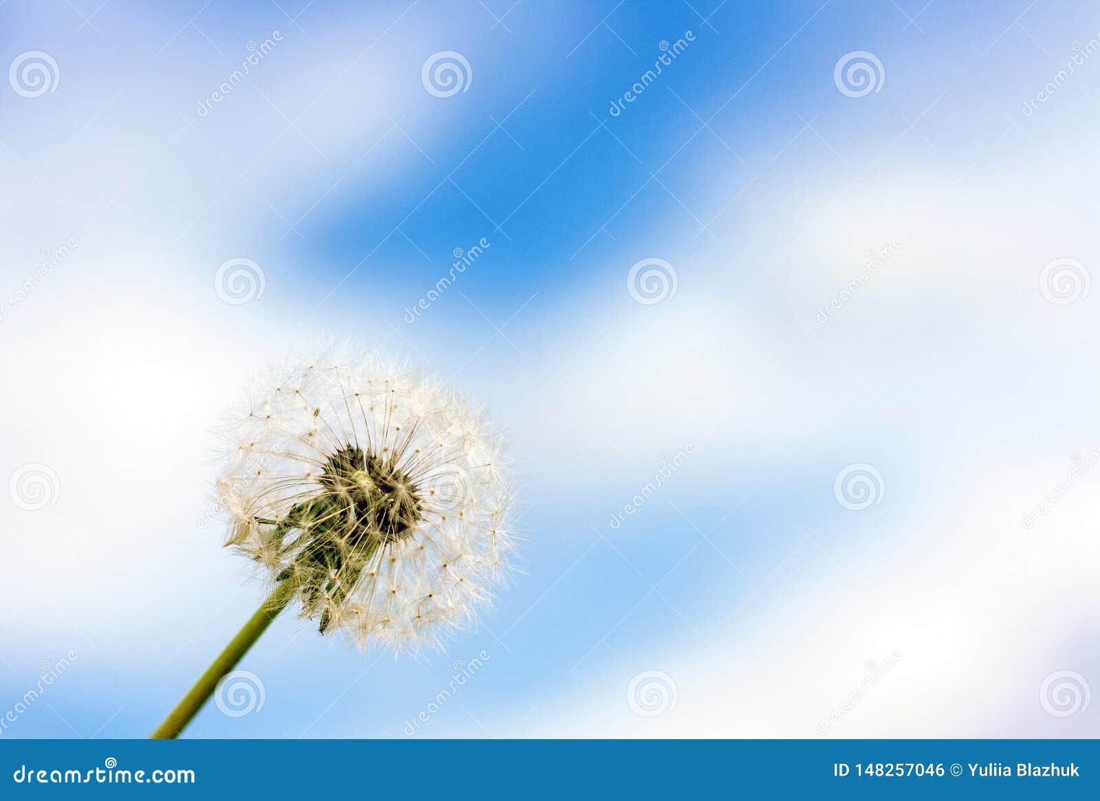 Fiore del dente di leone contro cielo blu con il fondo delle nuvole
