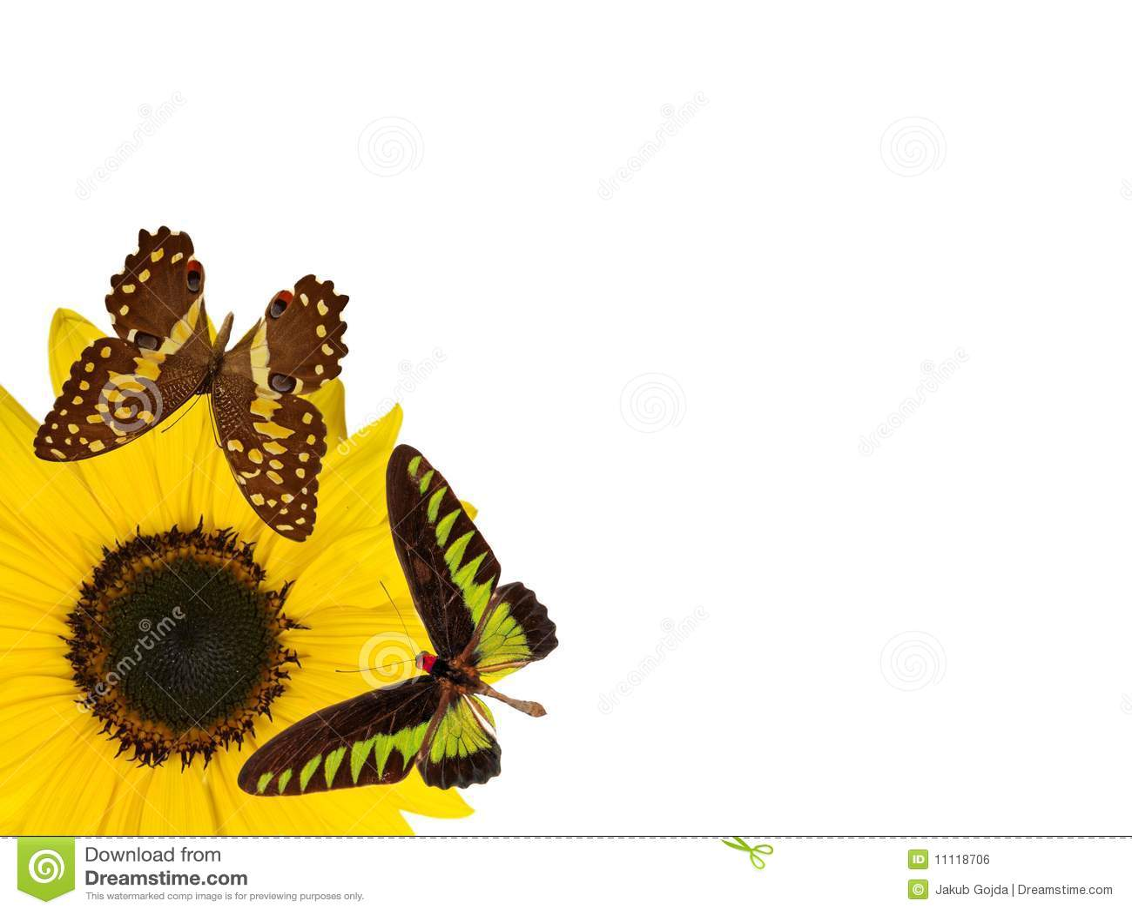 Fiore del fiore di Sun isolato sui wi bianchi della priorità bassa