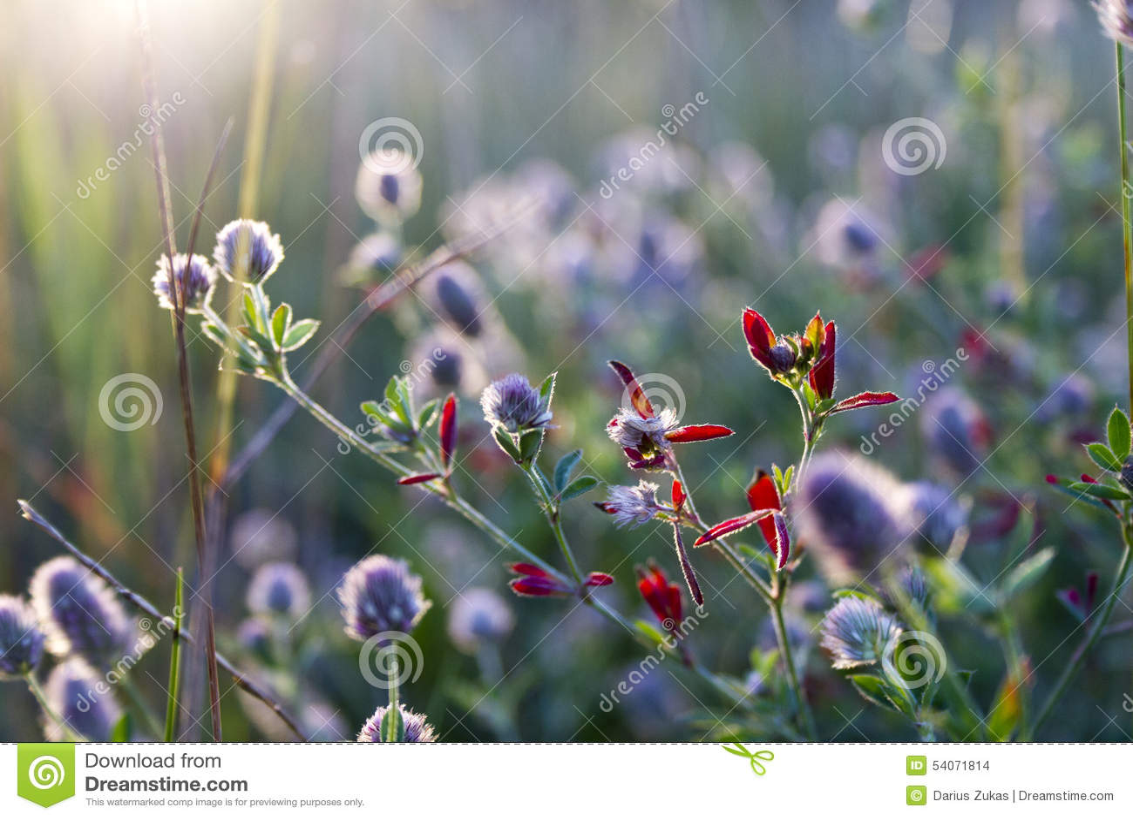 Fiore del fiore selvaggio nel campo