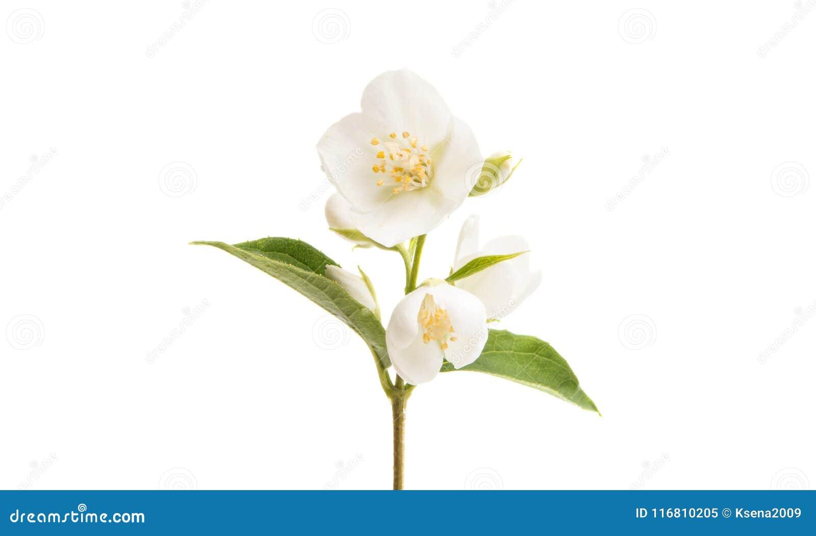 Fiore del gelsomino isolato