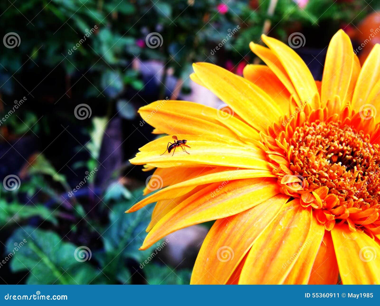 Fiore del Gerbera