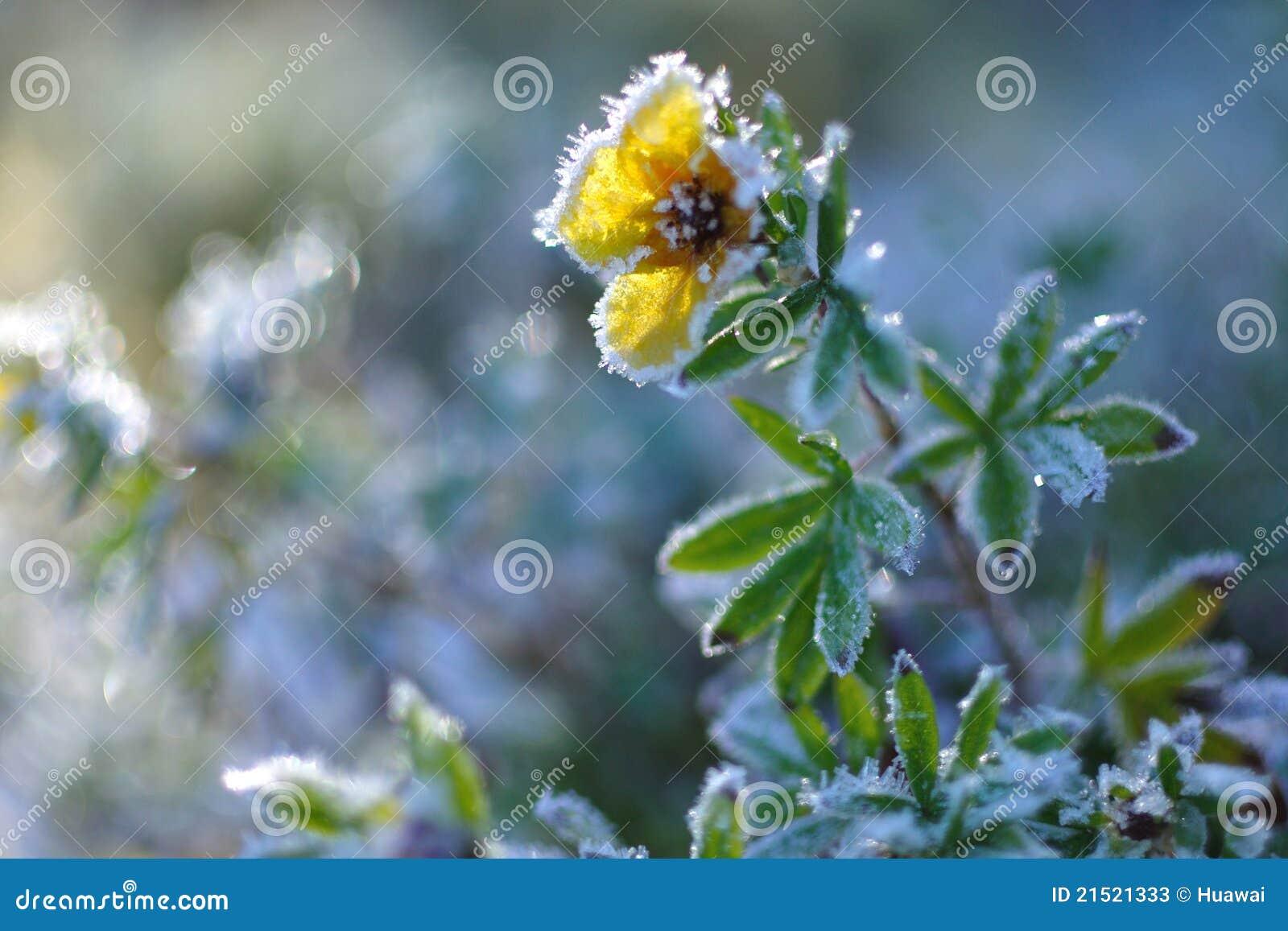 Fiore del ghiaccio immagine stock immagine di fiore for Cabine di pesca nel ghiaccio alberta