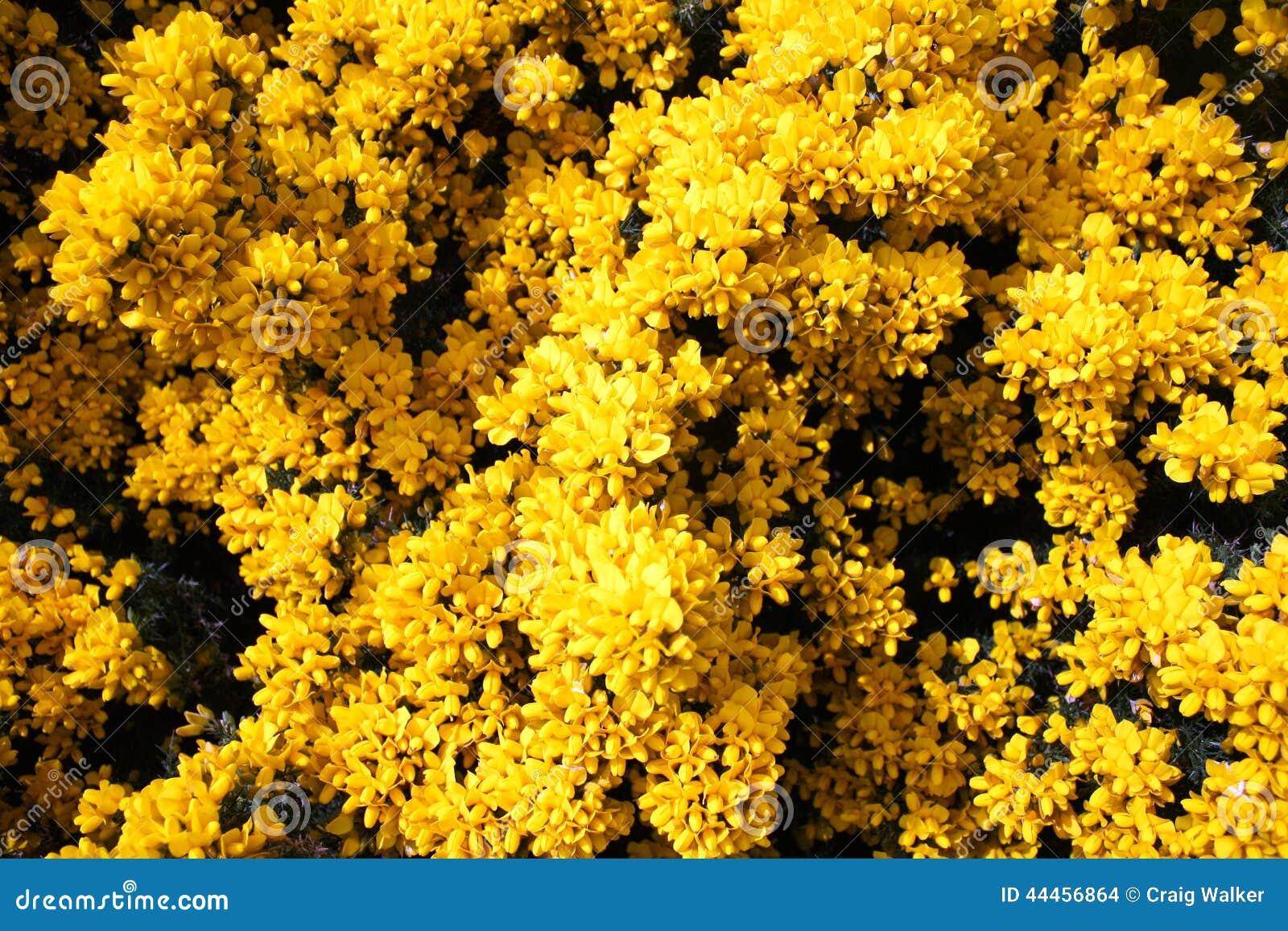 fiori gialli scozia