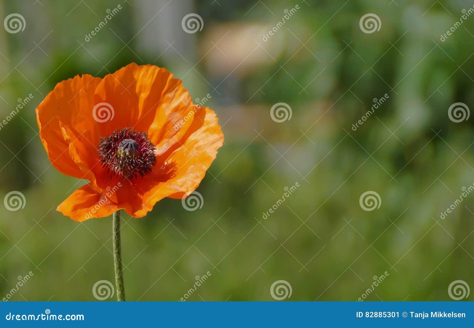 Fiore del papavero
