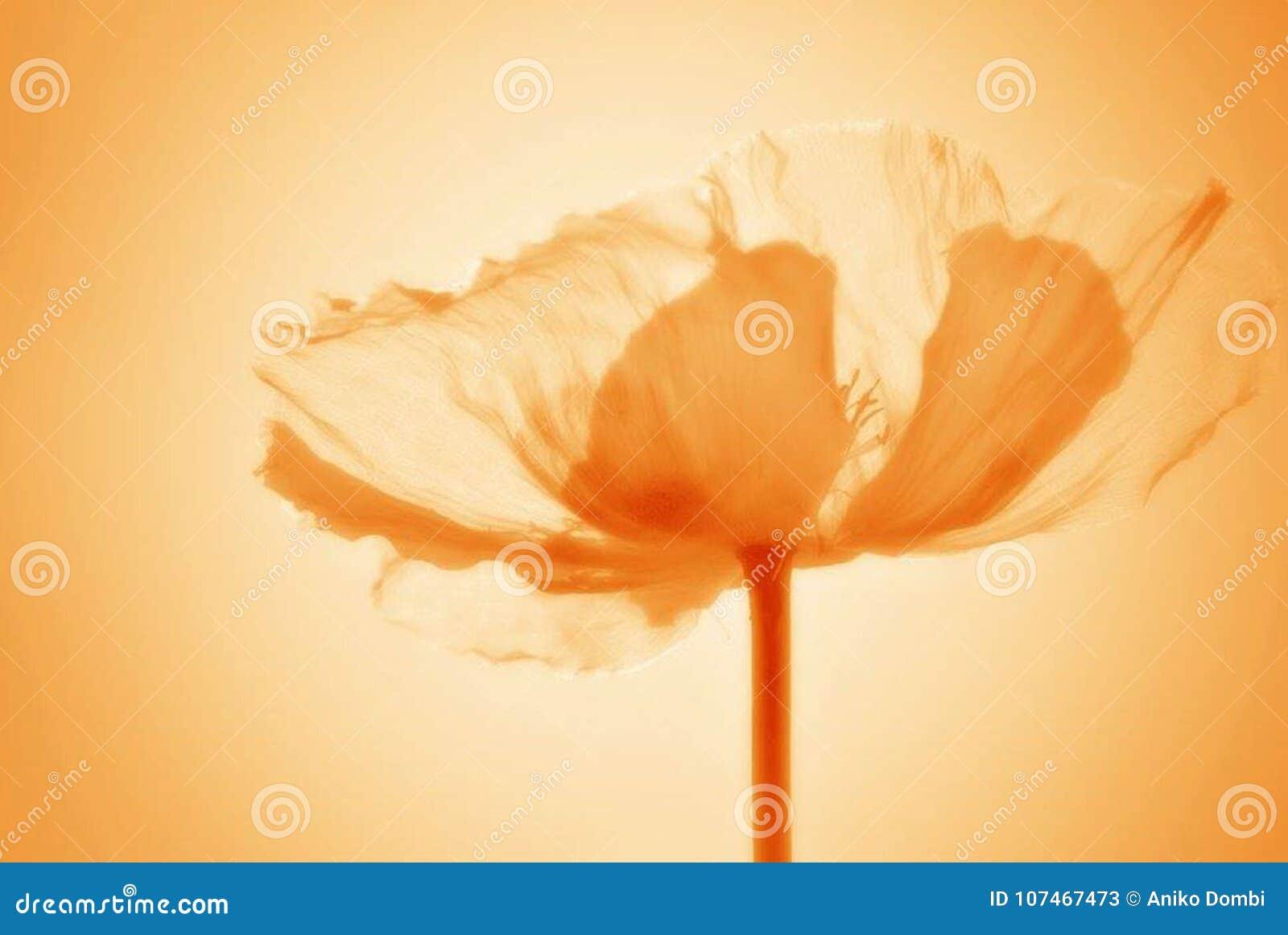 Fiore del papavero con il filtro arancio