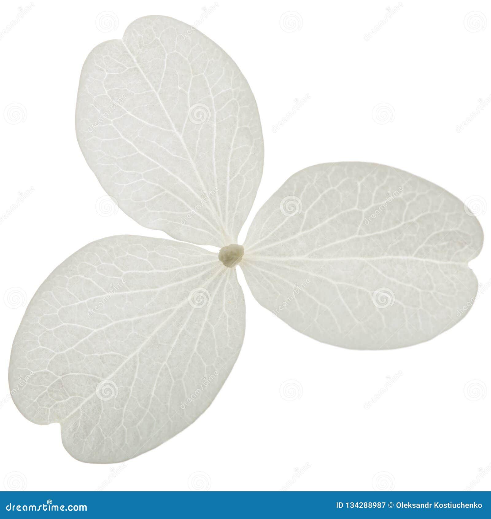 Fiore del primo piano dell ortensia, lat Paniculata dell ortensia, isolato su fondo bianco