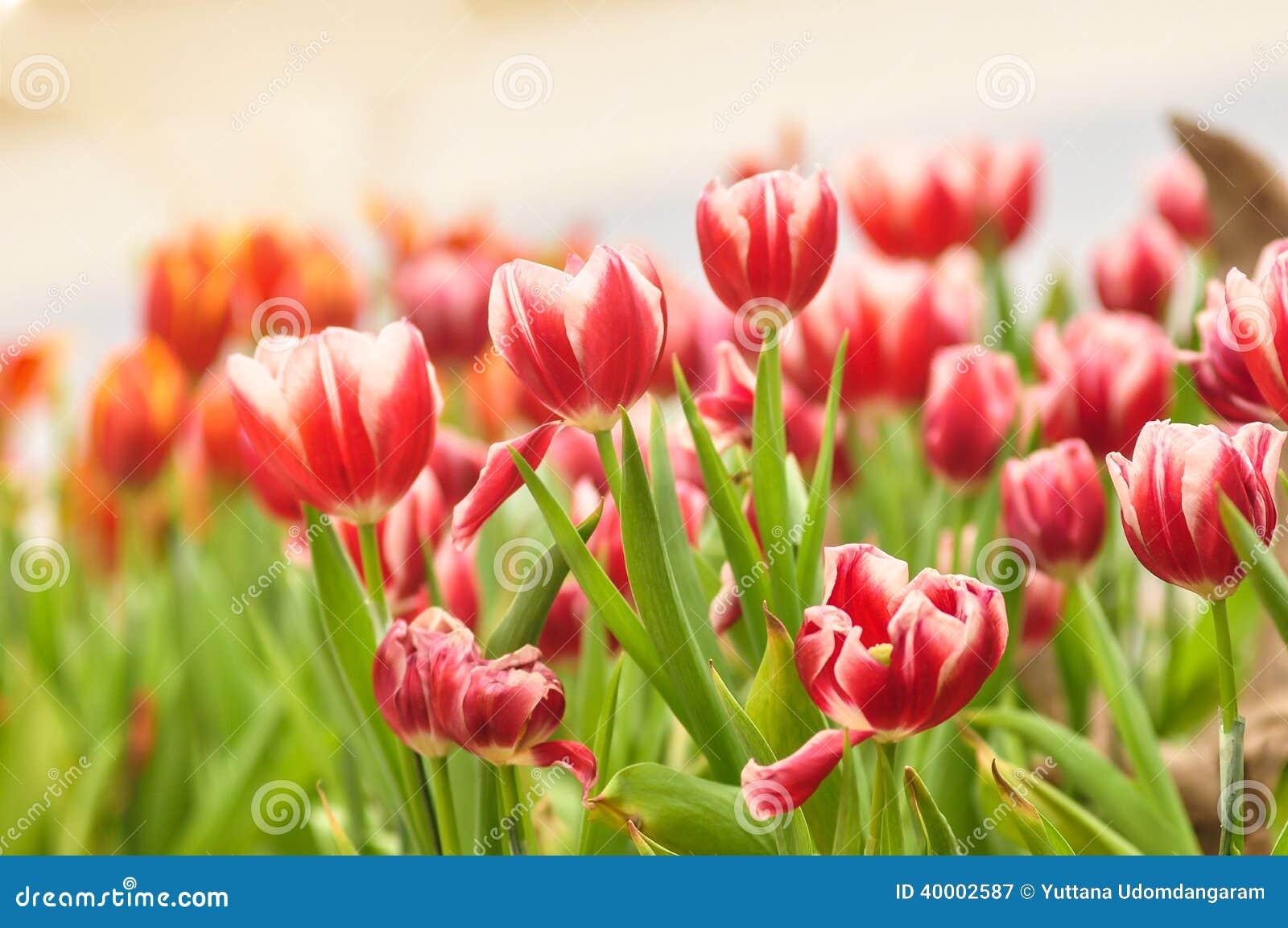Lampada Fiore Tulipano : Fiore del tulipano immagine stock. immagine di rosso 40002587