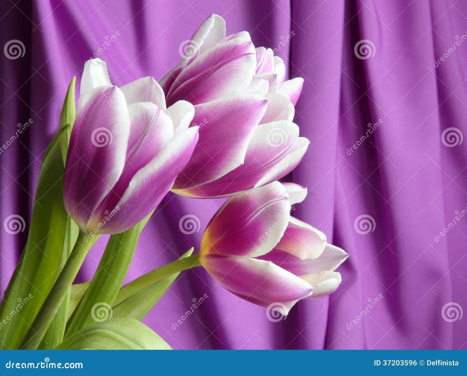 Fiore del tulipano: Foto delle azione di giorno madri/dei biglietti di S. Valentino