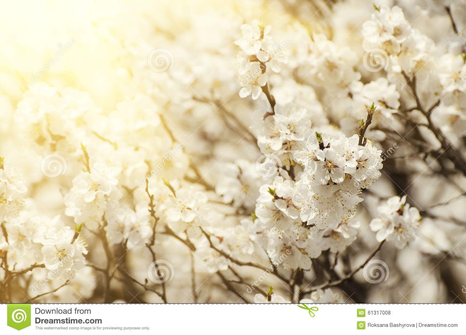 Fiore dell albero di albicocca