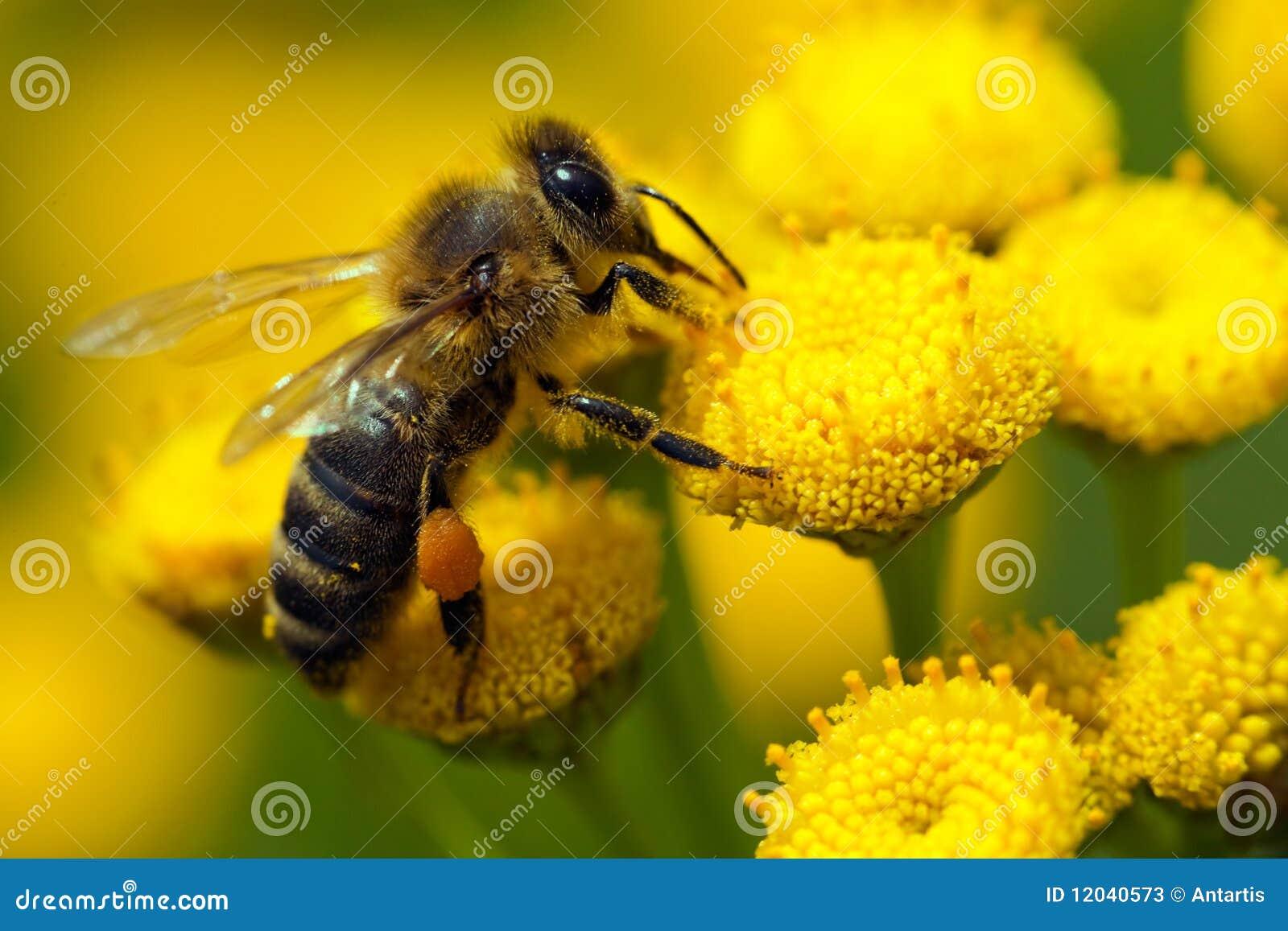 Fiore dell ape