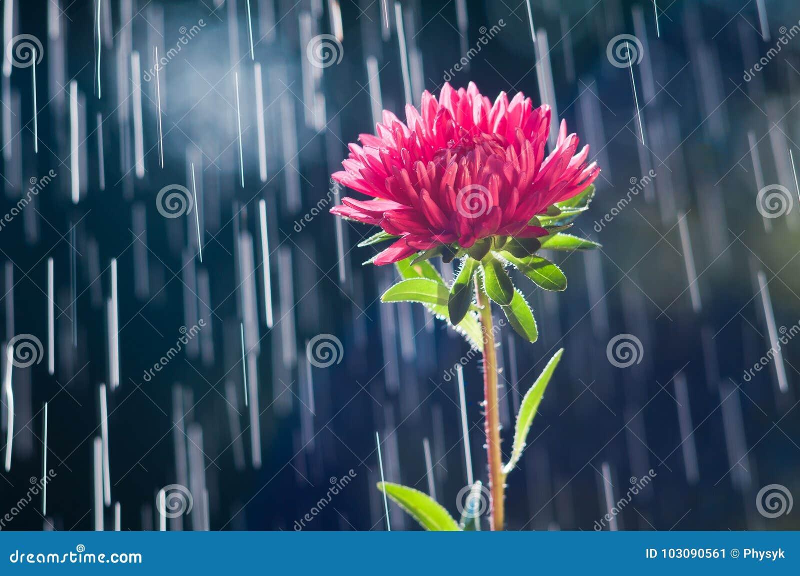 Fiore dell aster sulle piste del fondo delle gocce di pioggia