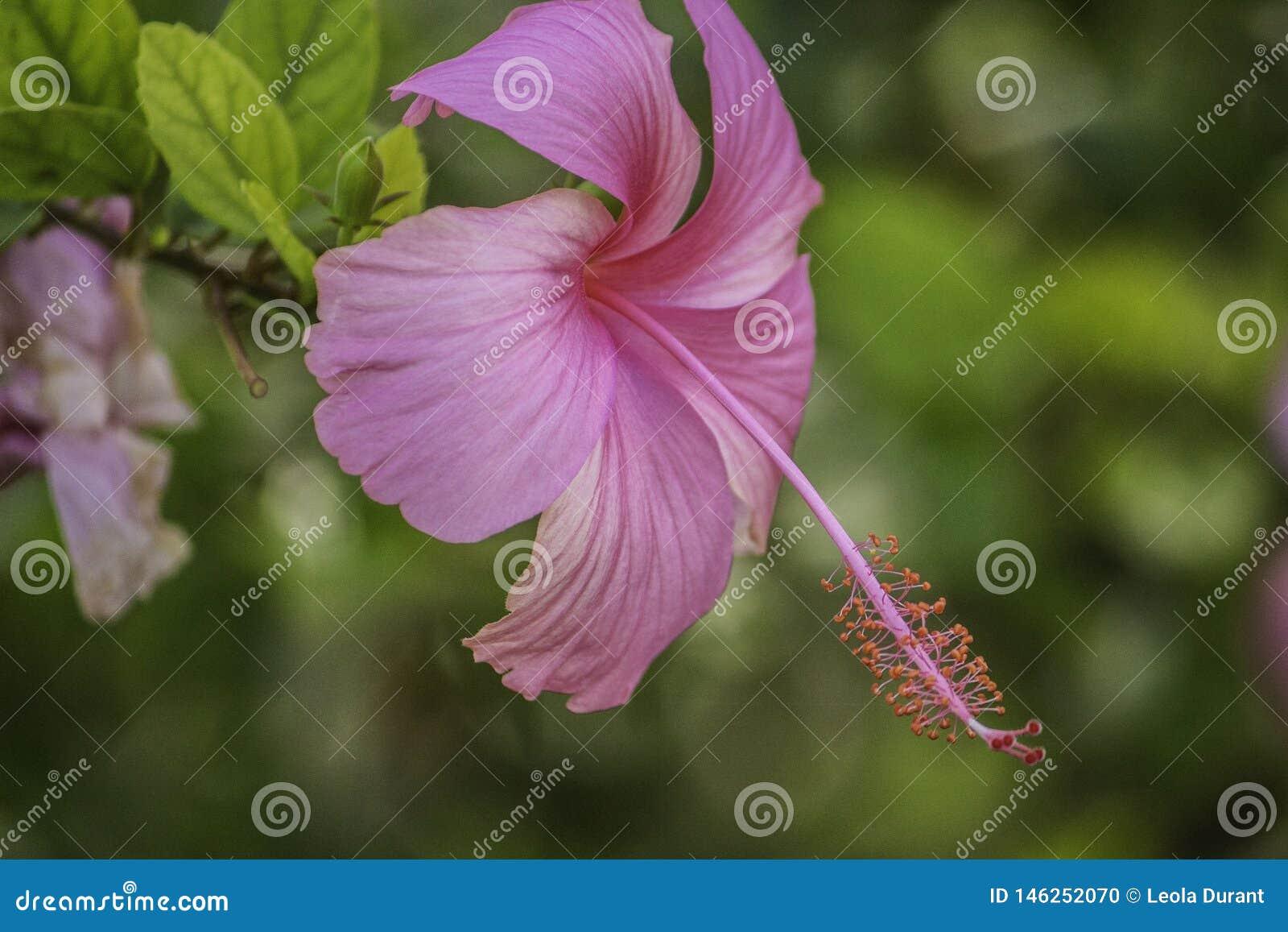 Fiore dell ibisco in piena fioritura