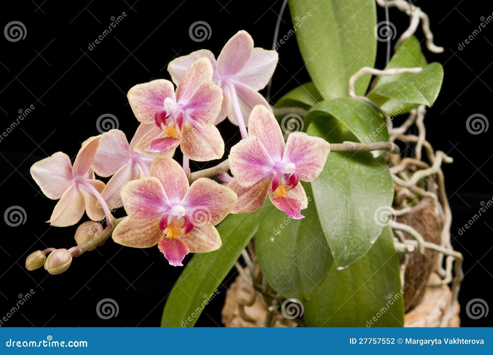 Fiore dell 39 orchidea di fioritura di phalaenopsis for Orchidea fioritura