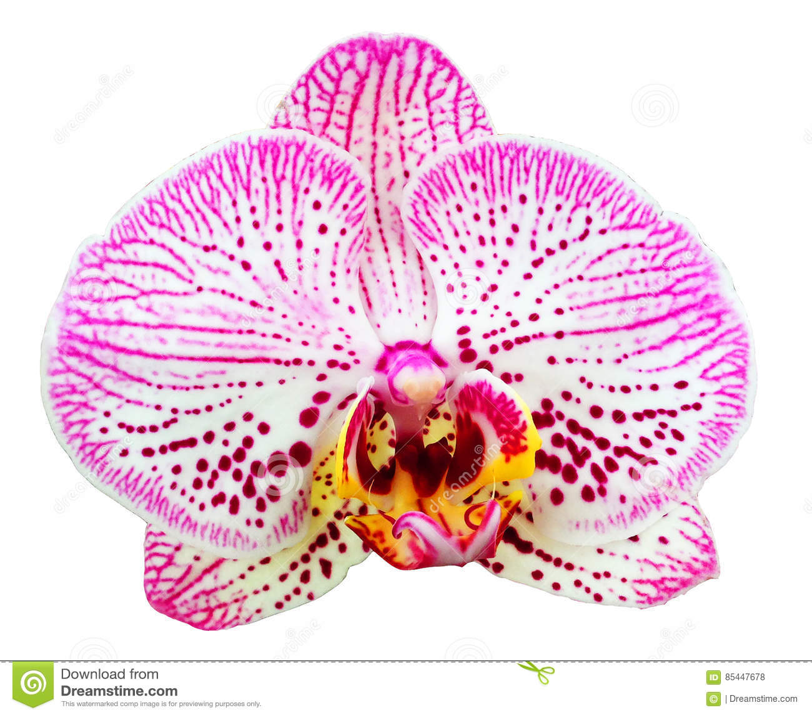 Fiore dell orchidea isolato