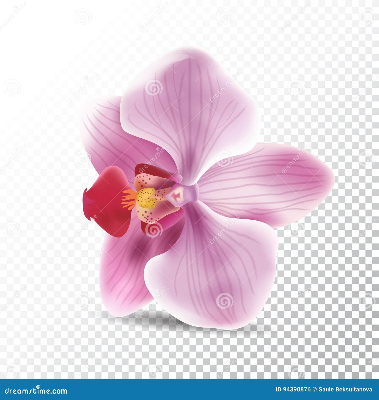 Fiore dell orchidea isolato su fondo trasparente Illustrazione realistica di vettore del fiore di rosa dell orchidea