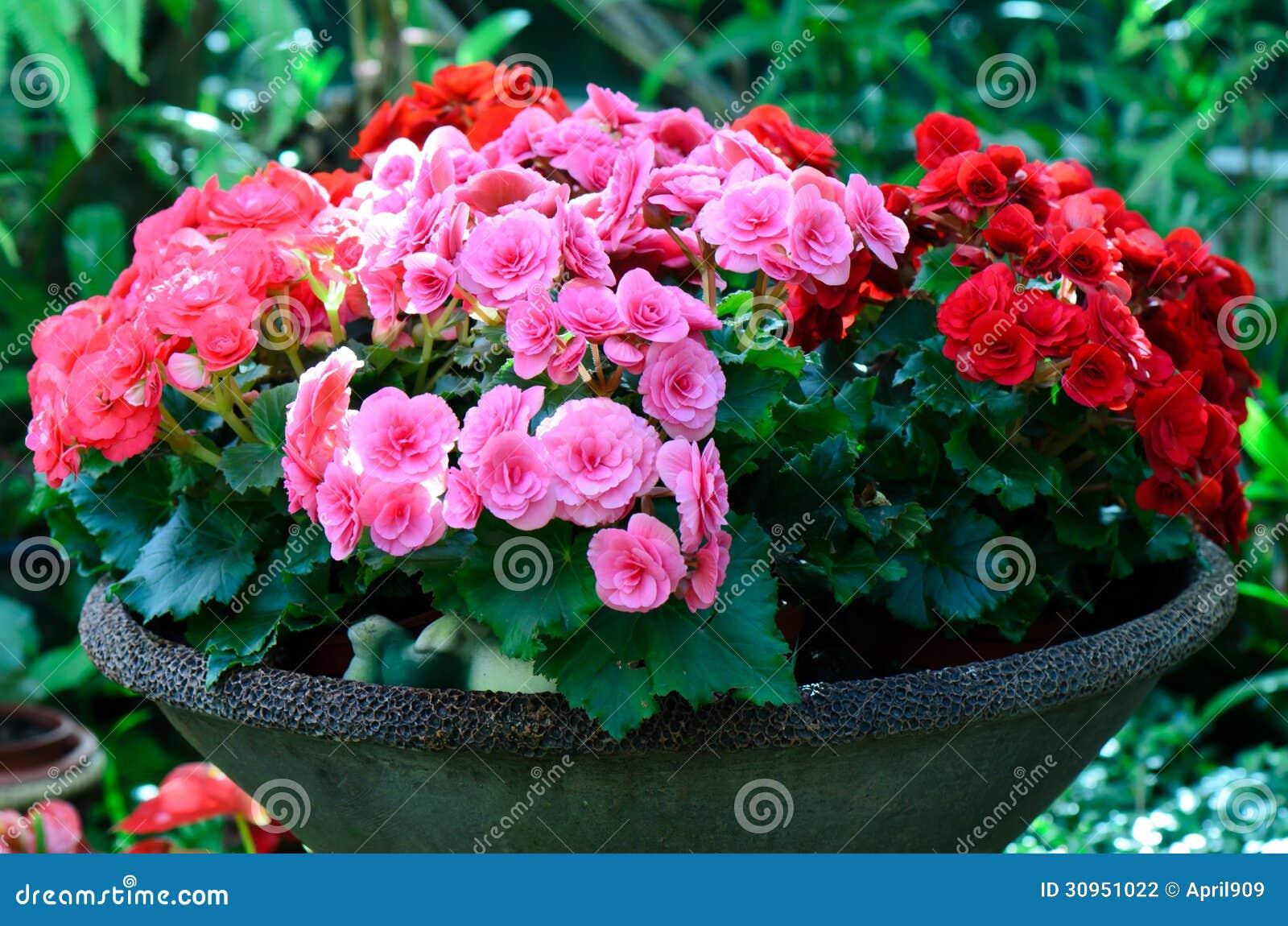 Fiore della begonia in vaso da fiori fotografia stock for Fiori da vaso