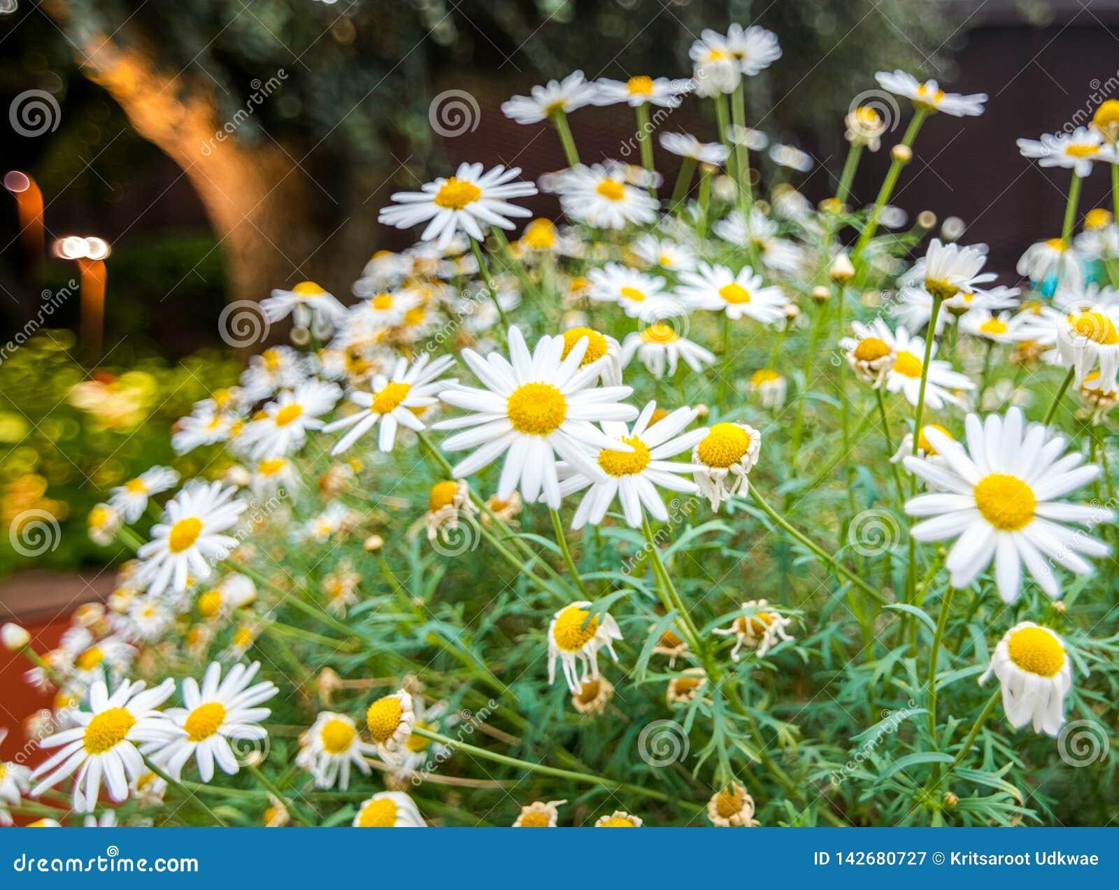 Fiore della camomilla alla cupola del fiore in giardino dalla baia