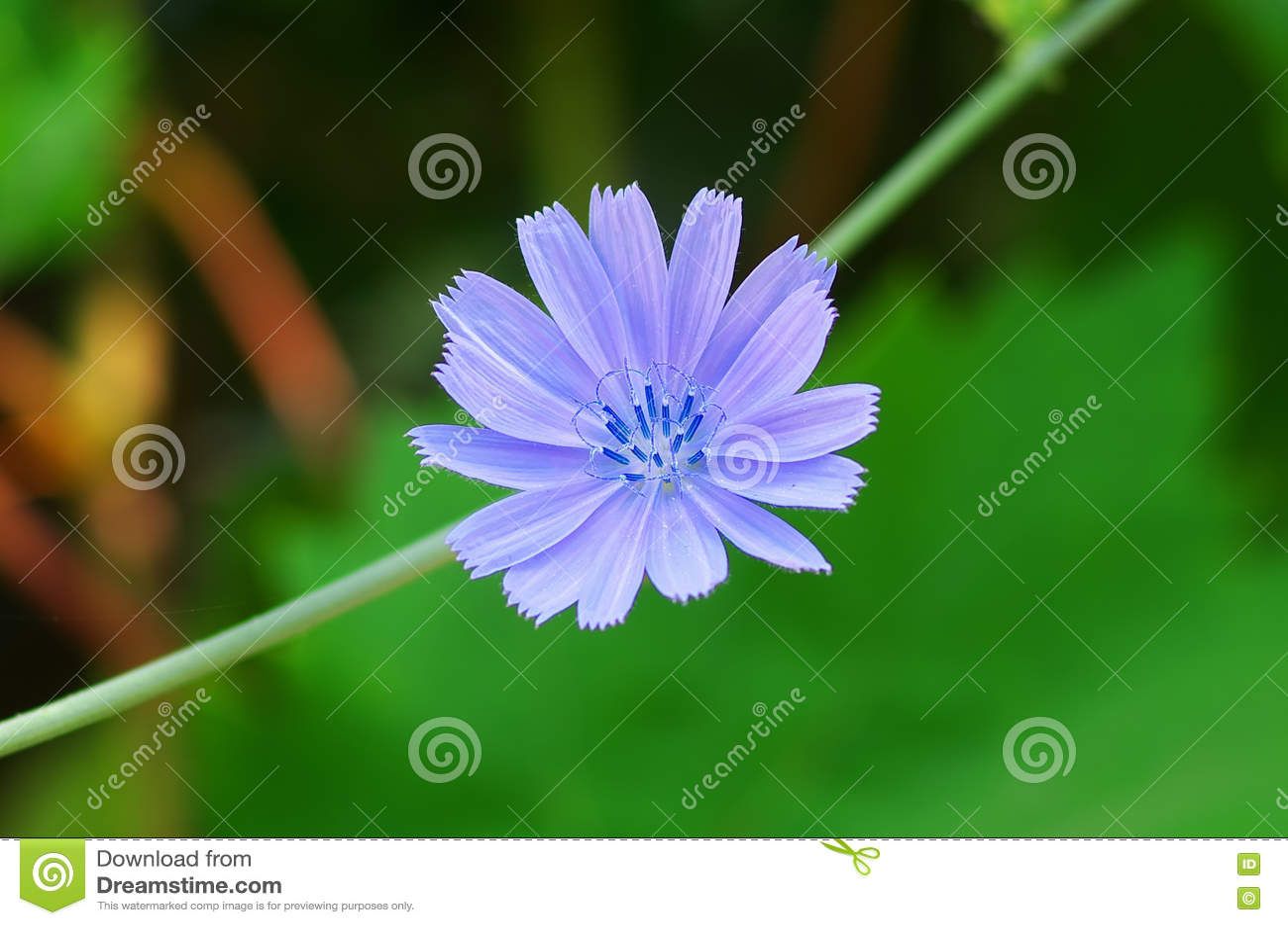Fiore della cicoria