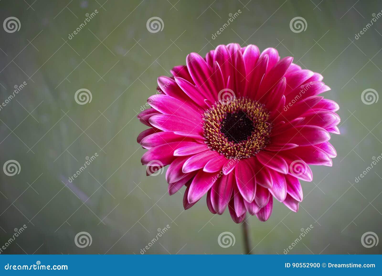 Fiore della gerbera bello e fiore