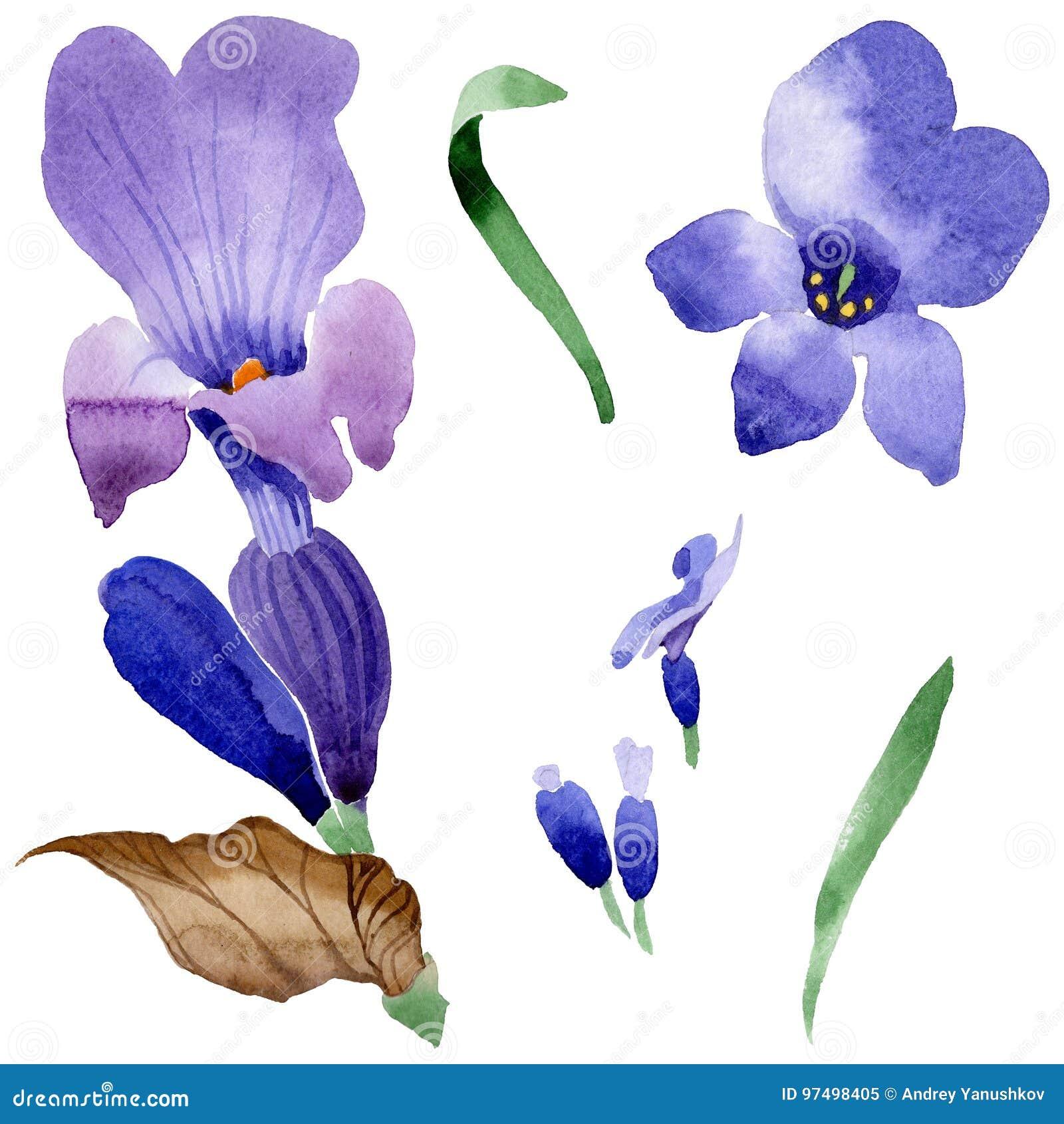 Fiore della lavanda del Wildflower in uno stile dell acquerello isolato