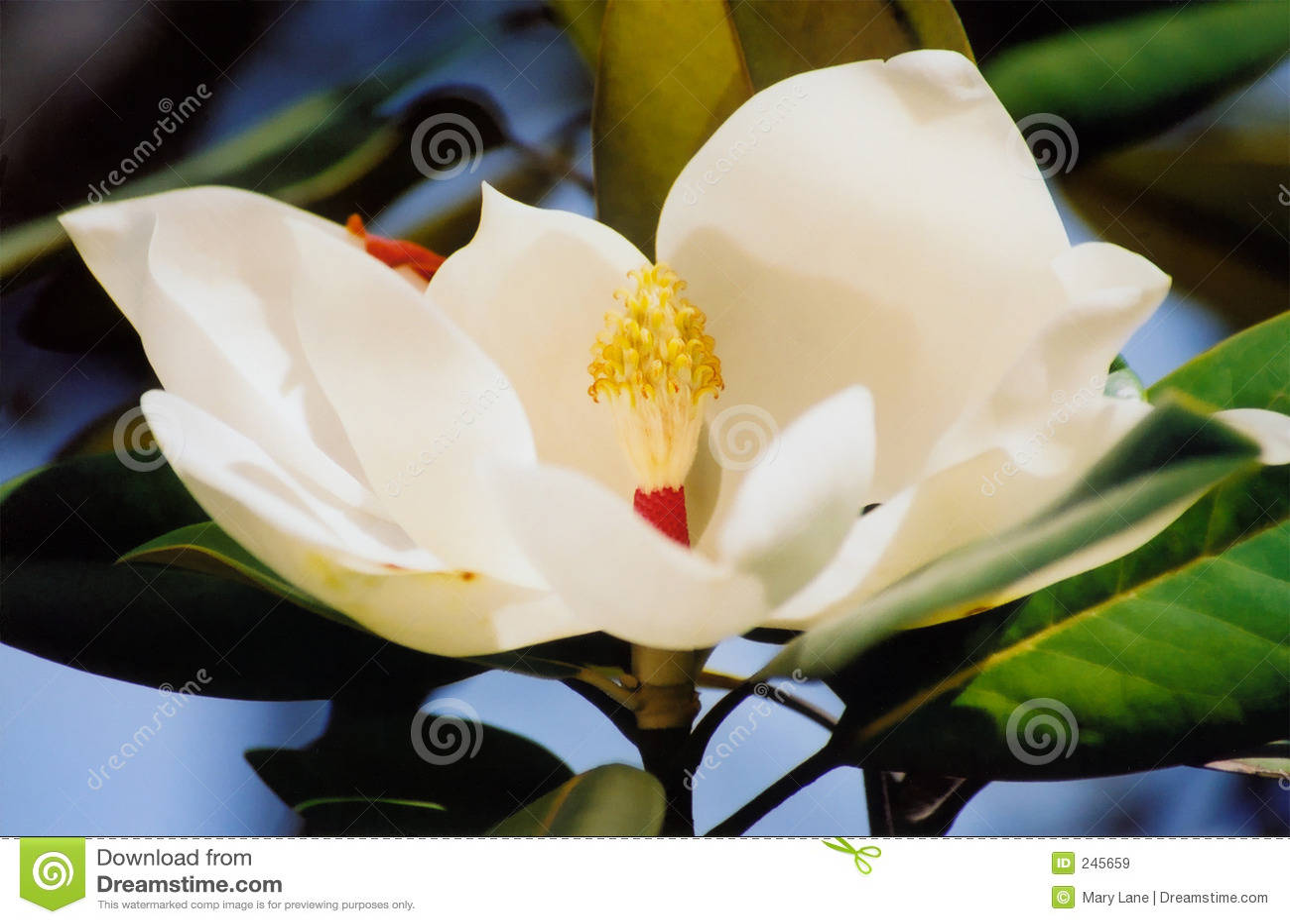 Fiore della magnolia immagine stock immagine di albero for Magnolia pianta prezzi