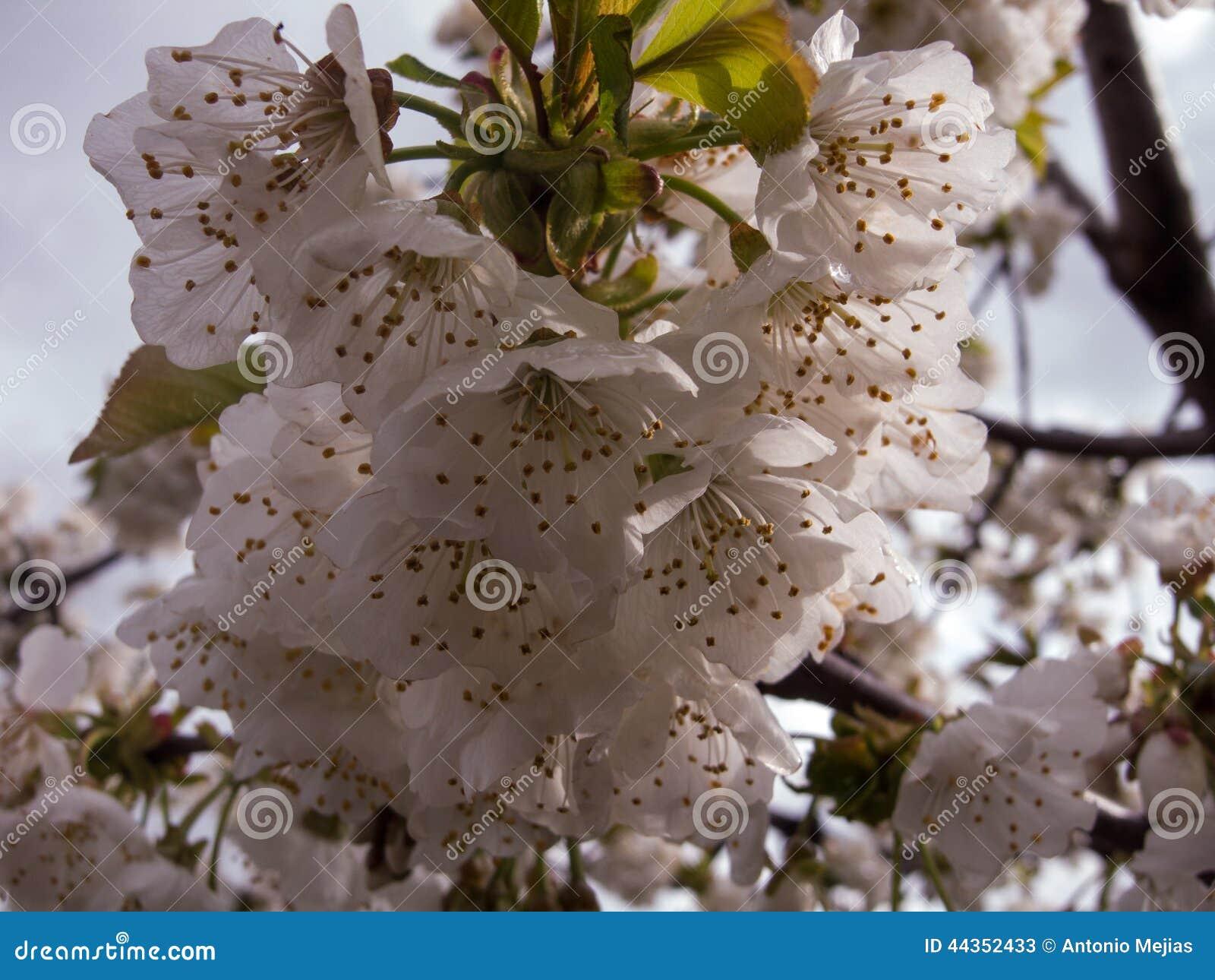 Fiore della mandorla