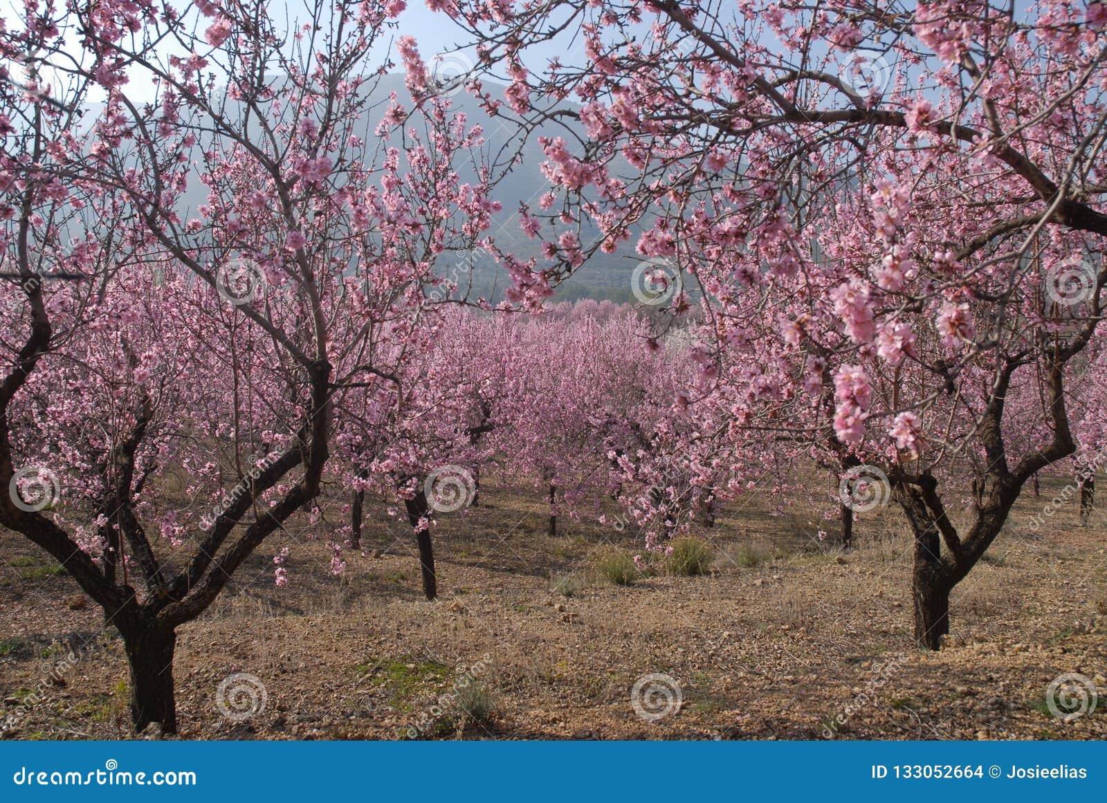 Fiore della mandorla sull albero in primavera