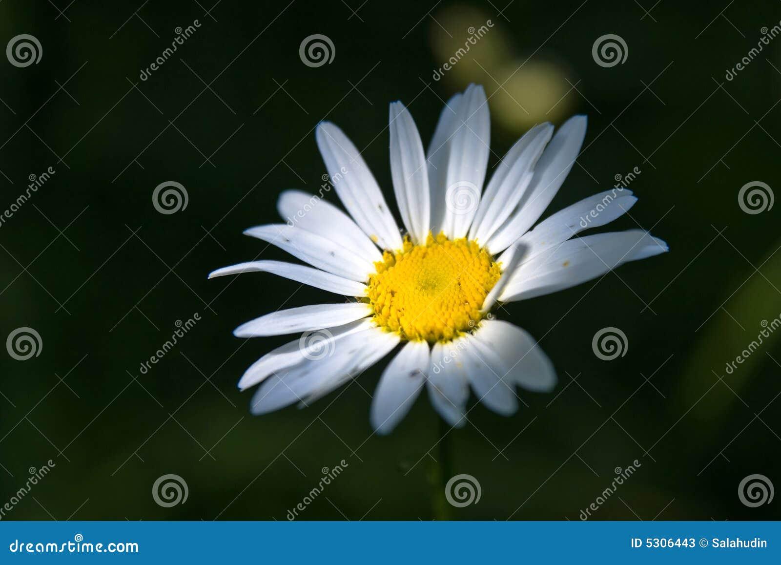 Download Fiore Della Margherita Di Marquerite Immagine Stock - Immagine di erba, nave: 5306443