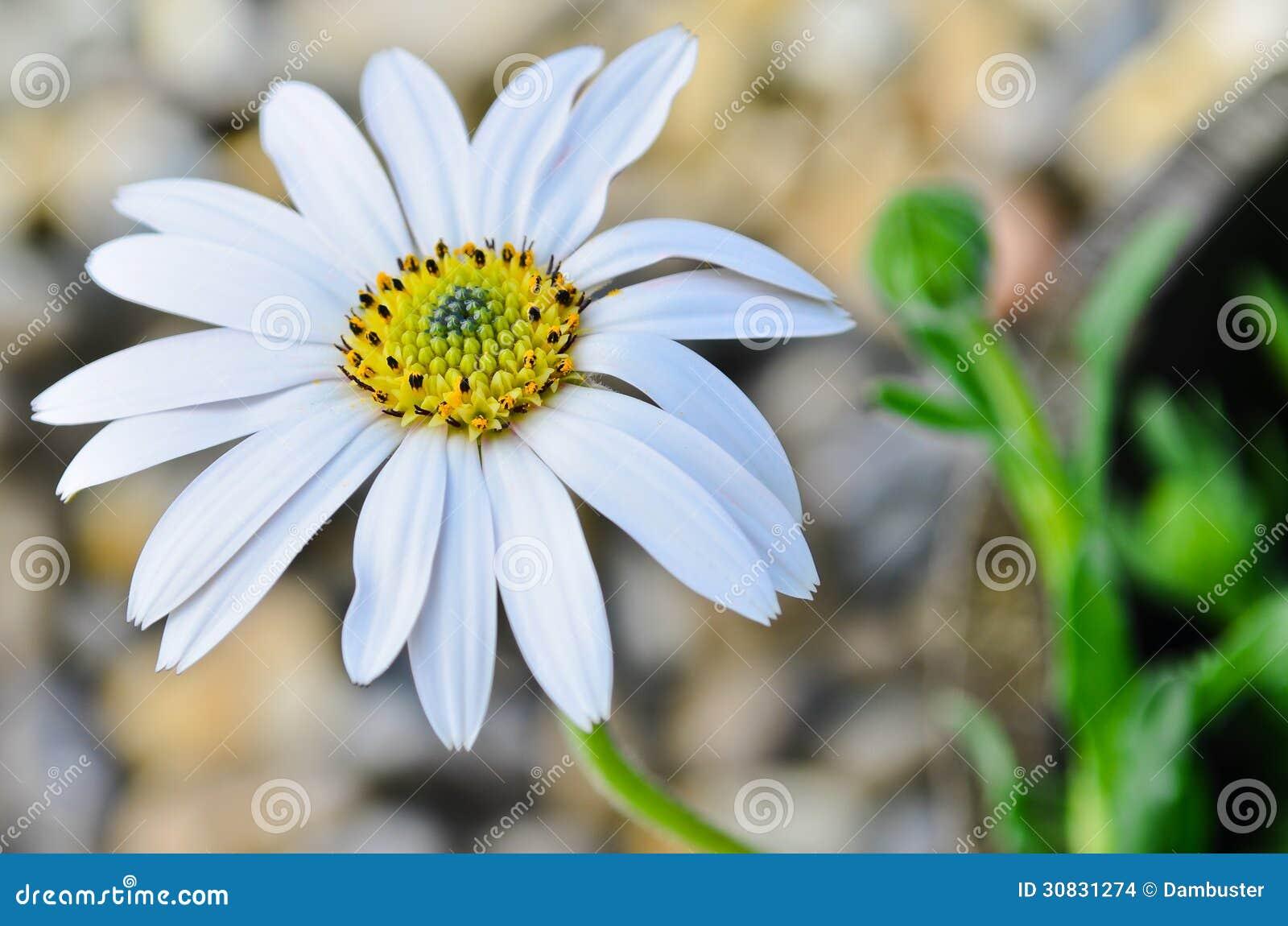 Fiore della margherita di Osteospermum