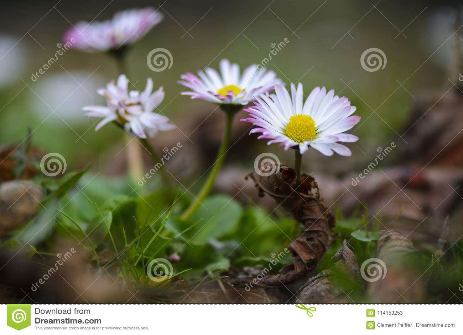 Fiore della margherita sul campo con le foglie di morte, fine su