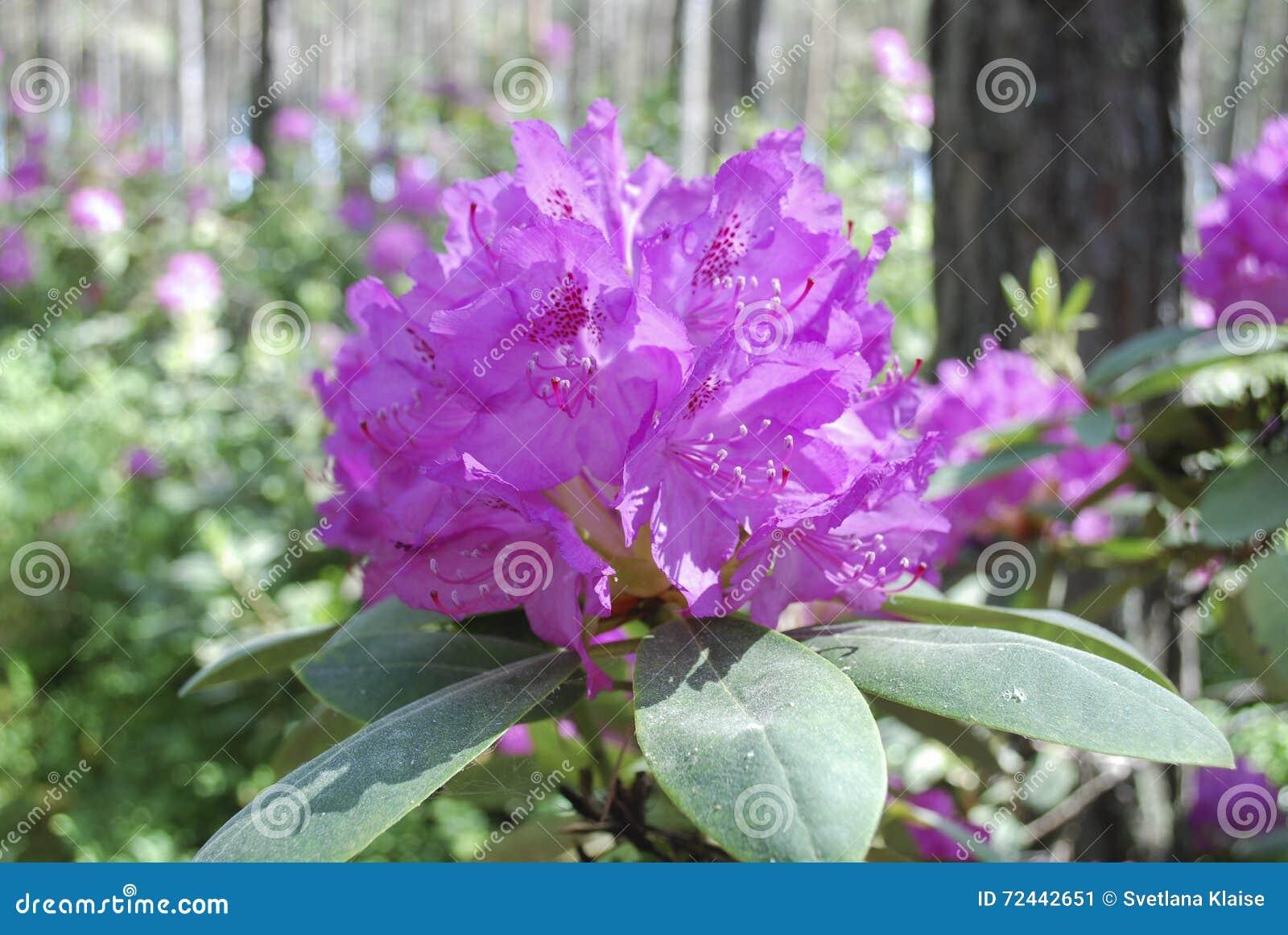 Fiore della pianta del rododendro fiori rosa immagine stock