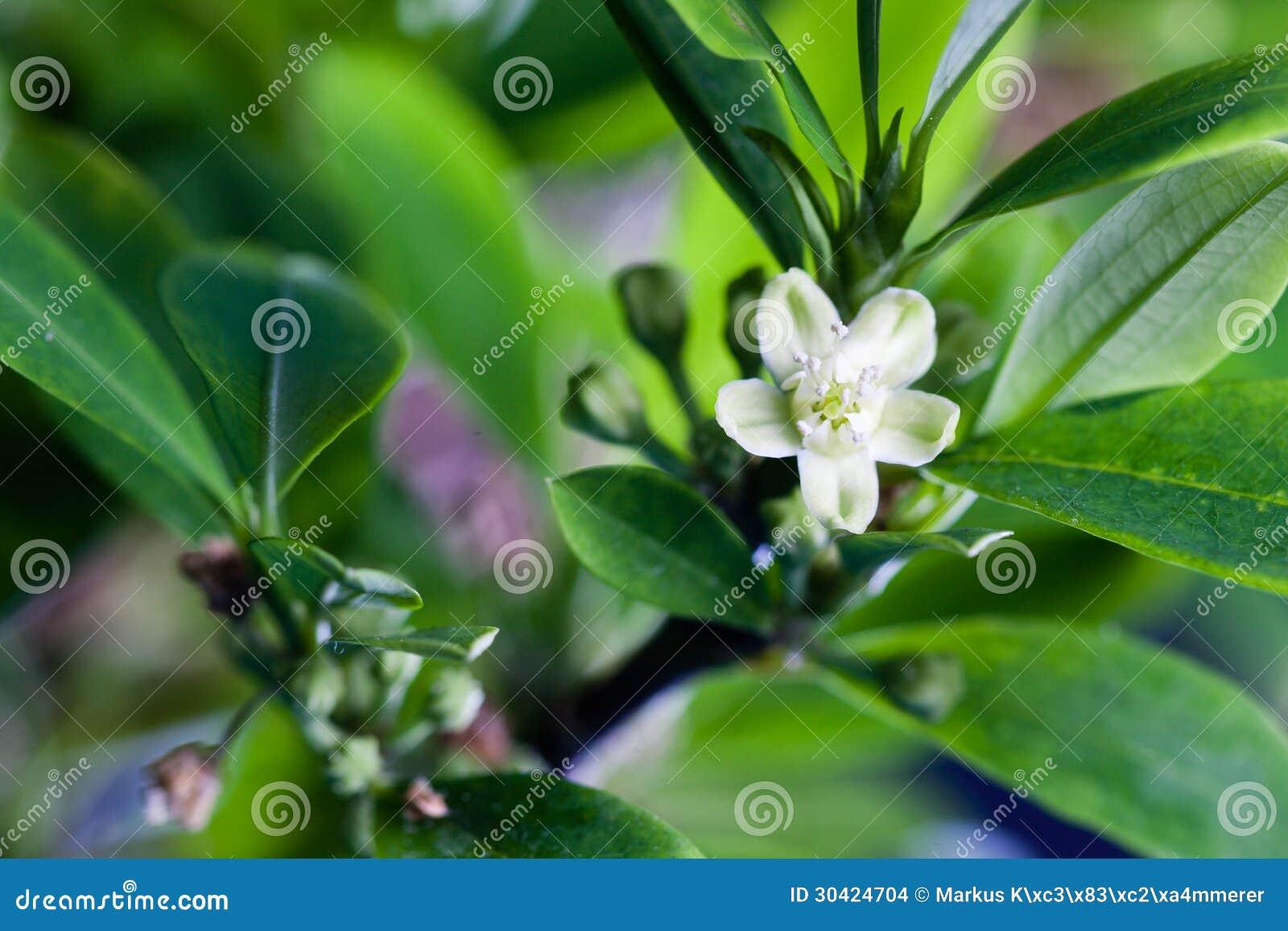 Fiore della pianta della coca