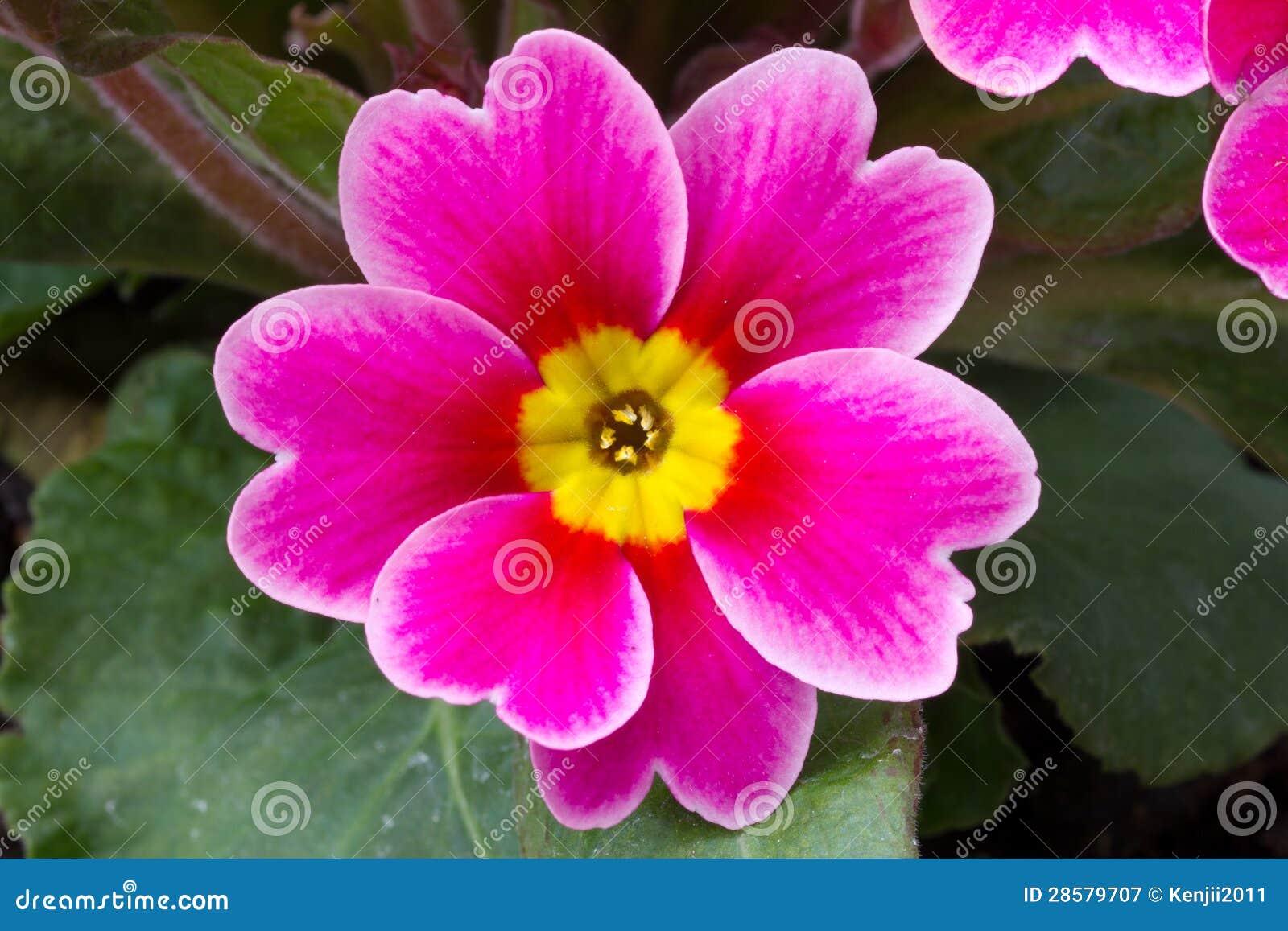 Fiore della primula immagine stock immagine di copia for Primule immagini