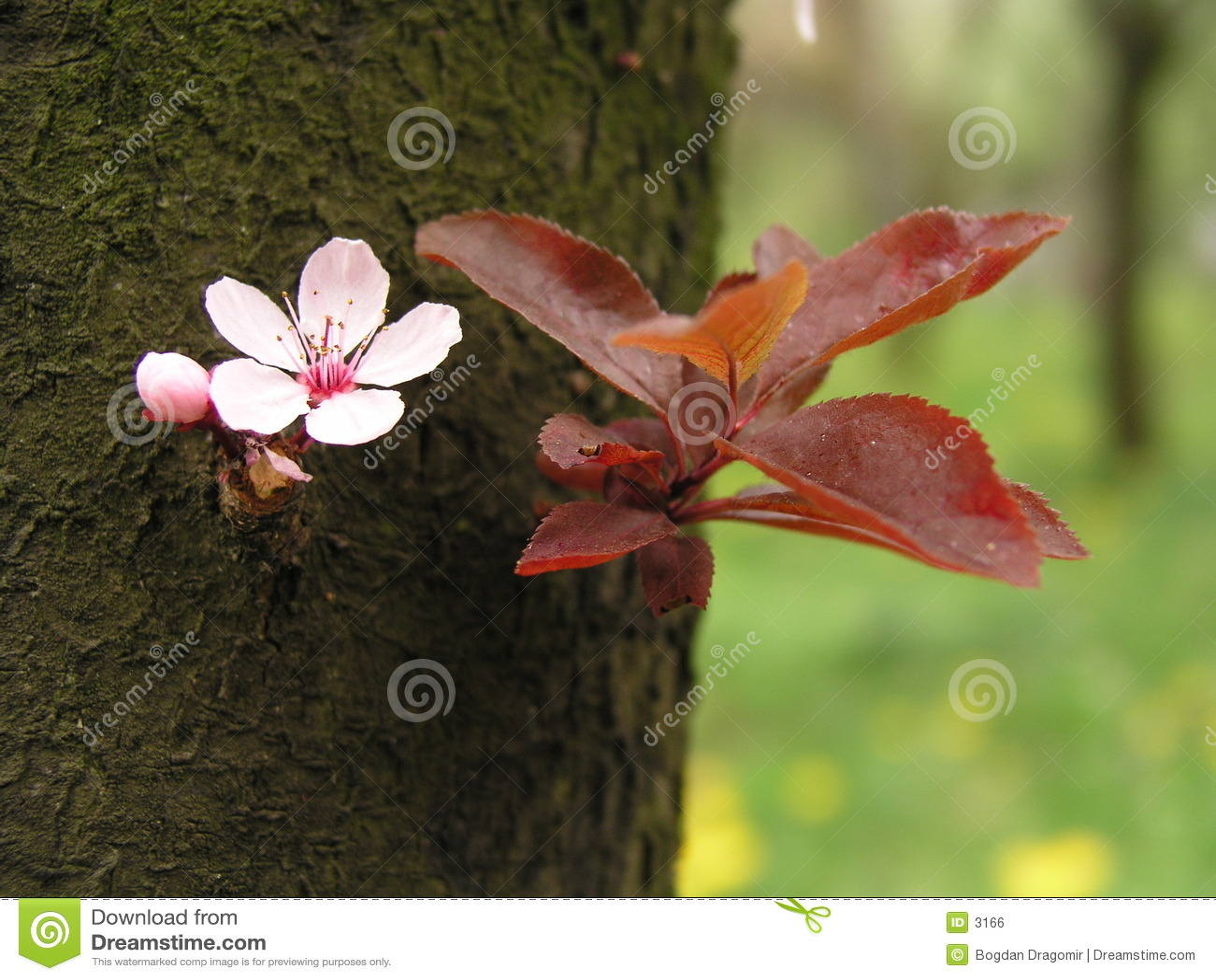 Fiore della sorgente sulla corteccia di albero