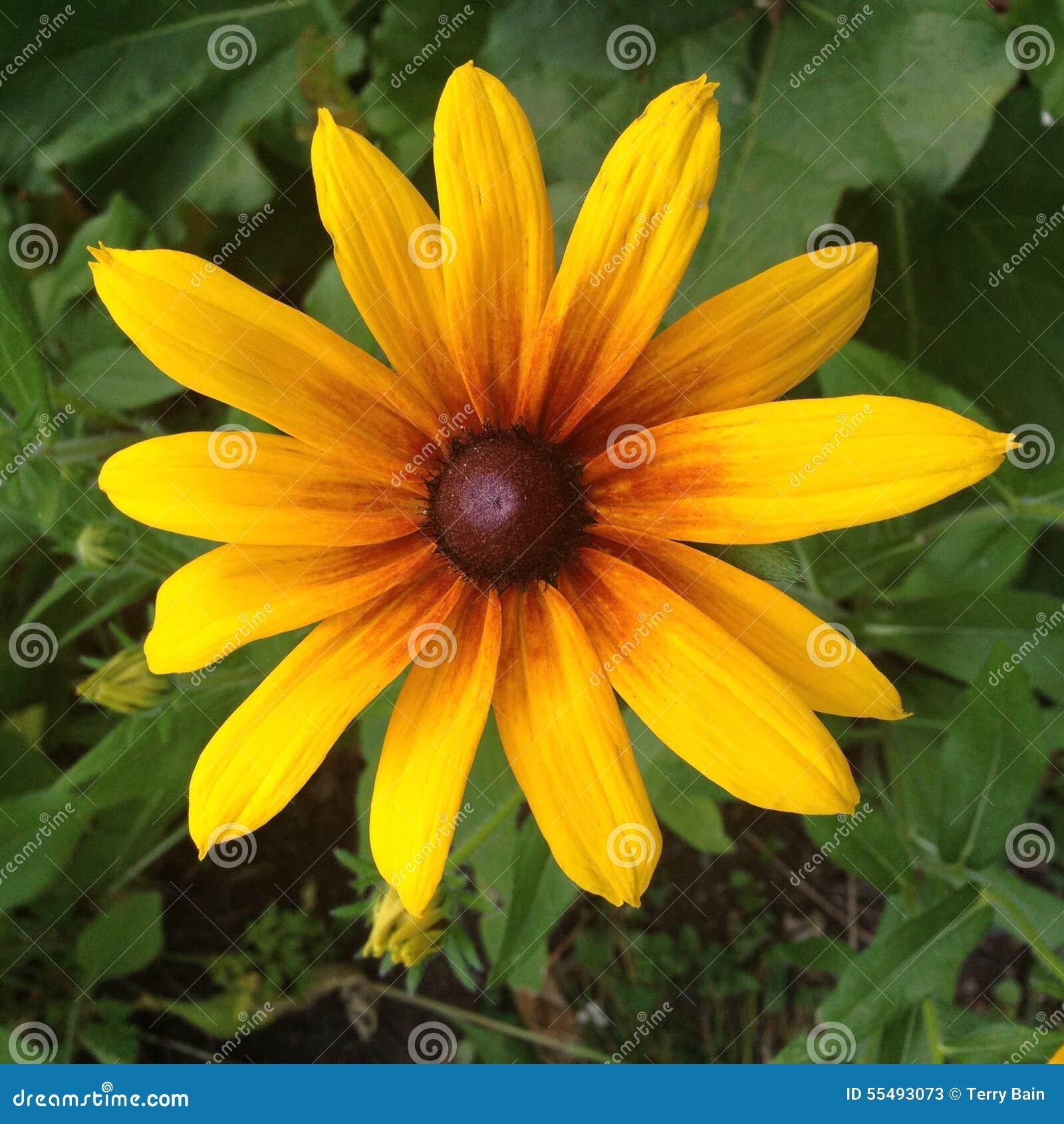 Fiore della Susan Eyed il nero