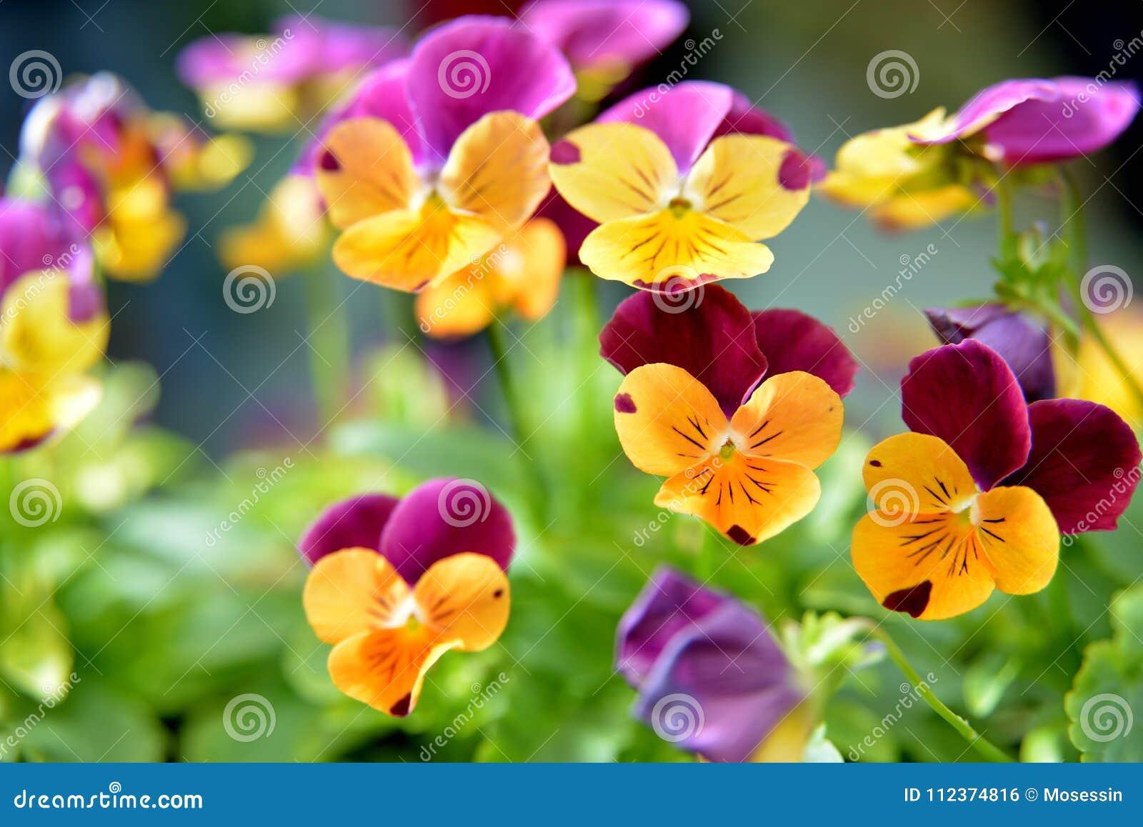Fiore della viola della pansé