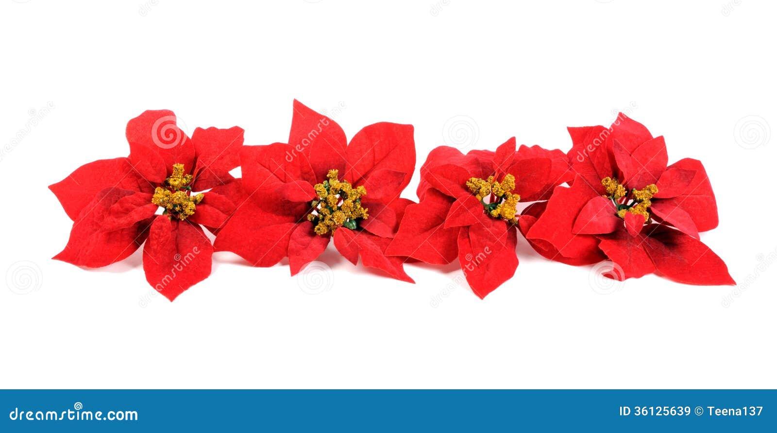 Fiore delle stelle di natale immagini stock libere da for Stelle di natale