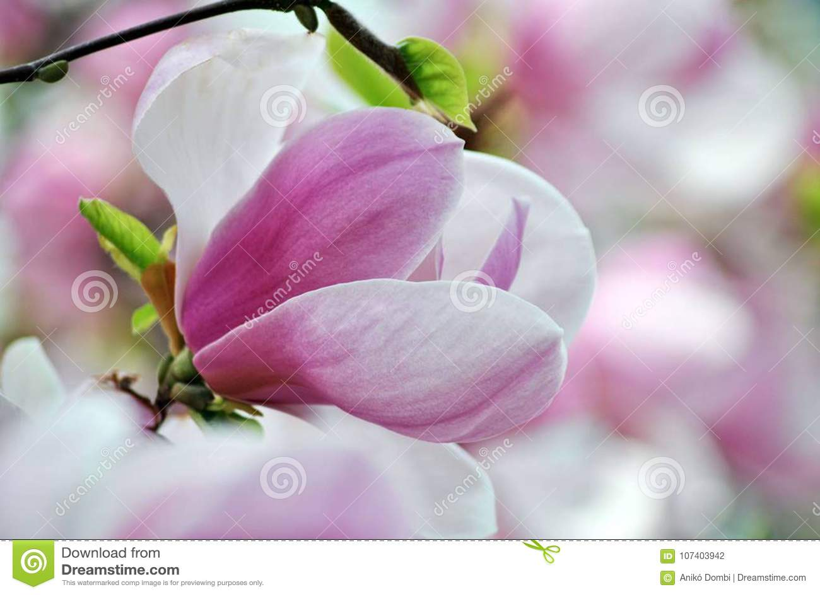 Fiore dentellare della magnolia