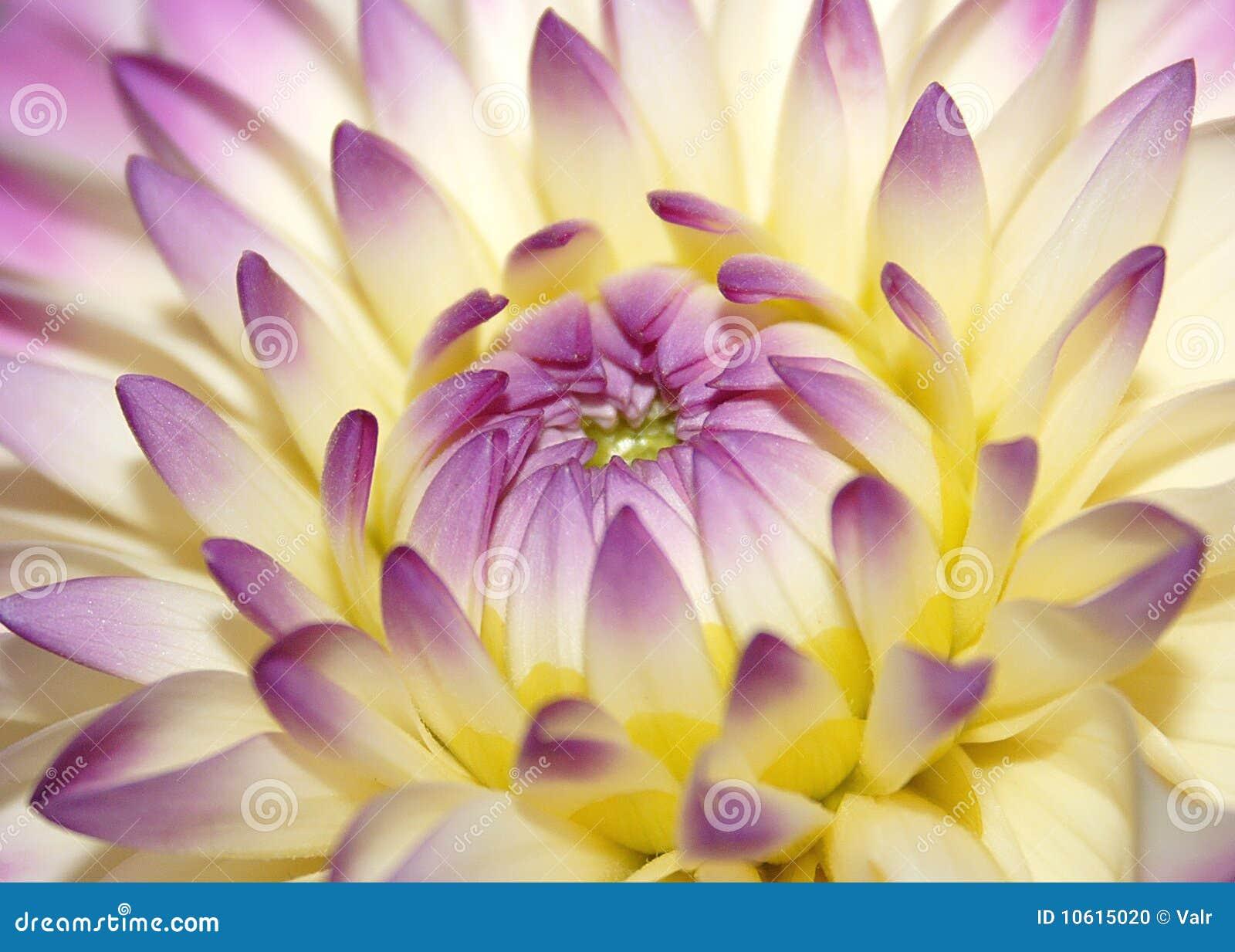 Fiore dentellare a macroistruzione
