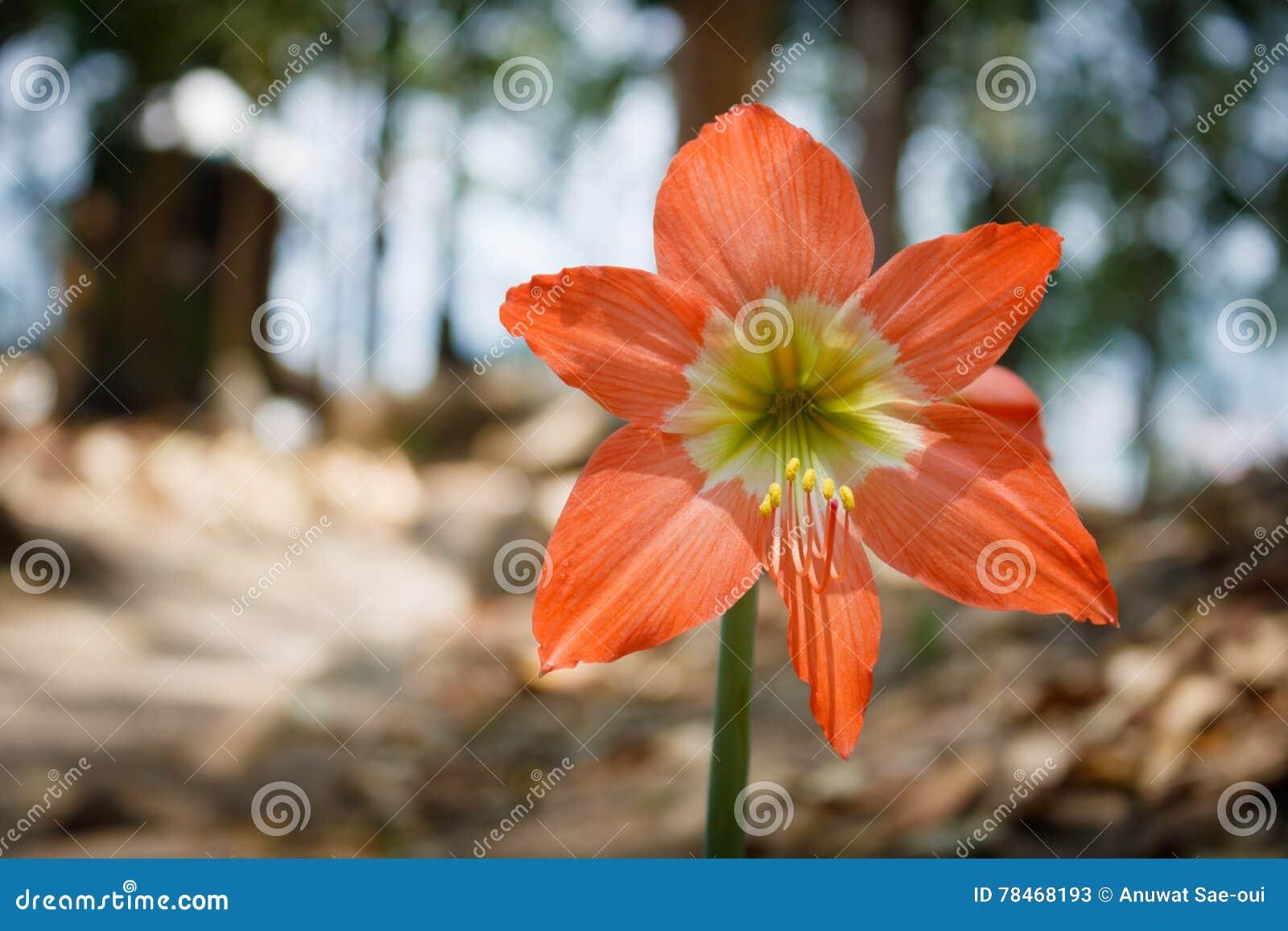 Fiore di Amaryllis o di hippeastrum