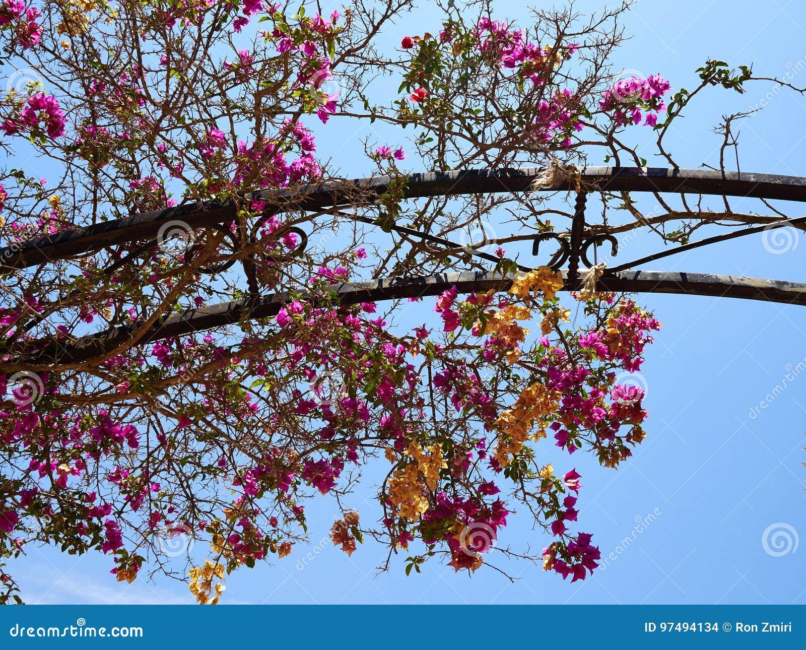 Fiore di carta di fioritura della buganvillea
