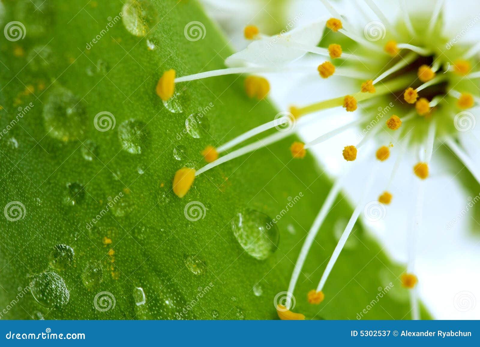 Download Fiore Di Ciliegia Sul Foglio Verde Immagine Stock - Immagine di bellezza, condensazione: 5302537