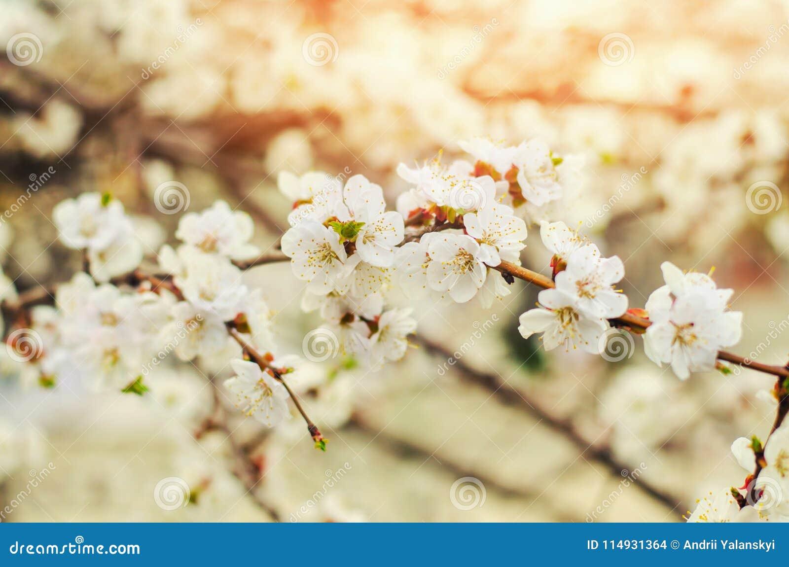 Carta Da Parati Fiori Di Ciliegio : Fiore di ciliegia un giorno soleggiato l arrivo della molla