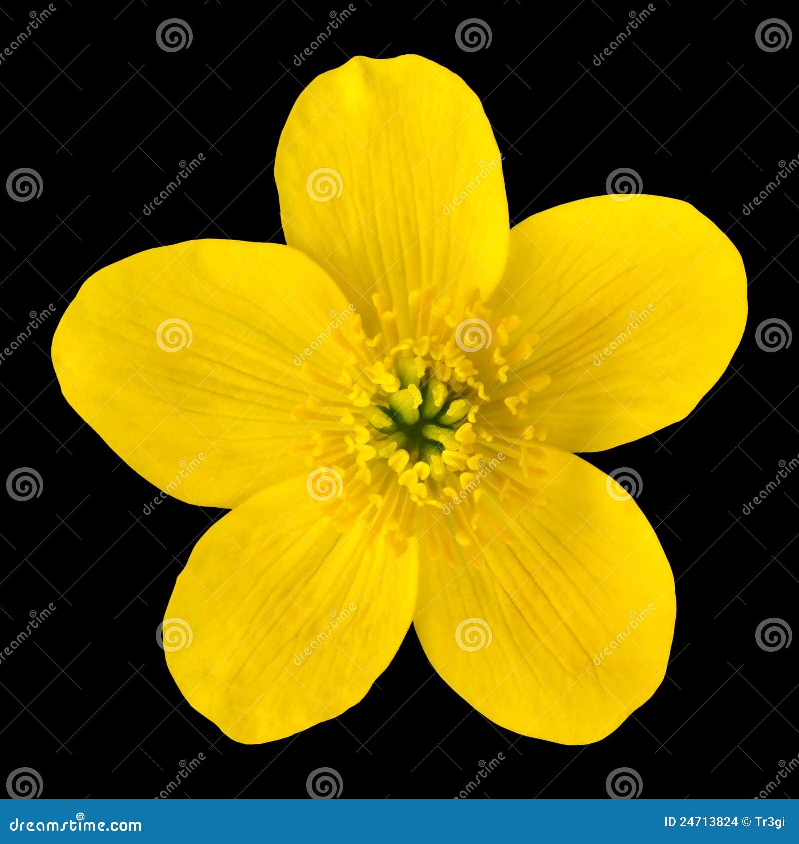 Fiore di colore giallo del tagete di palude isolato sul for Oggetti di colore giallo